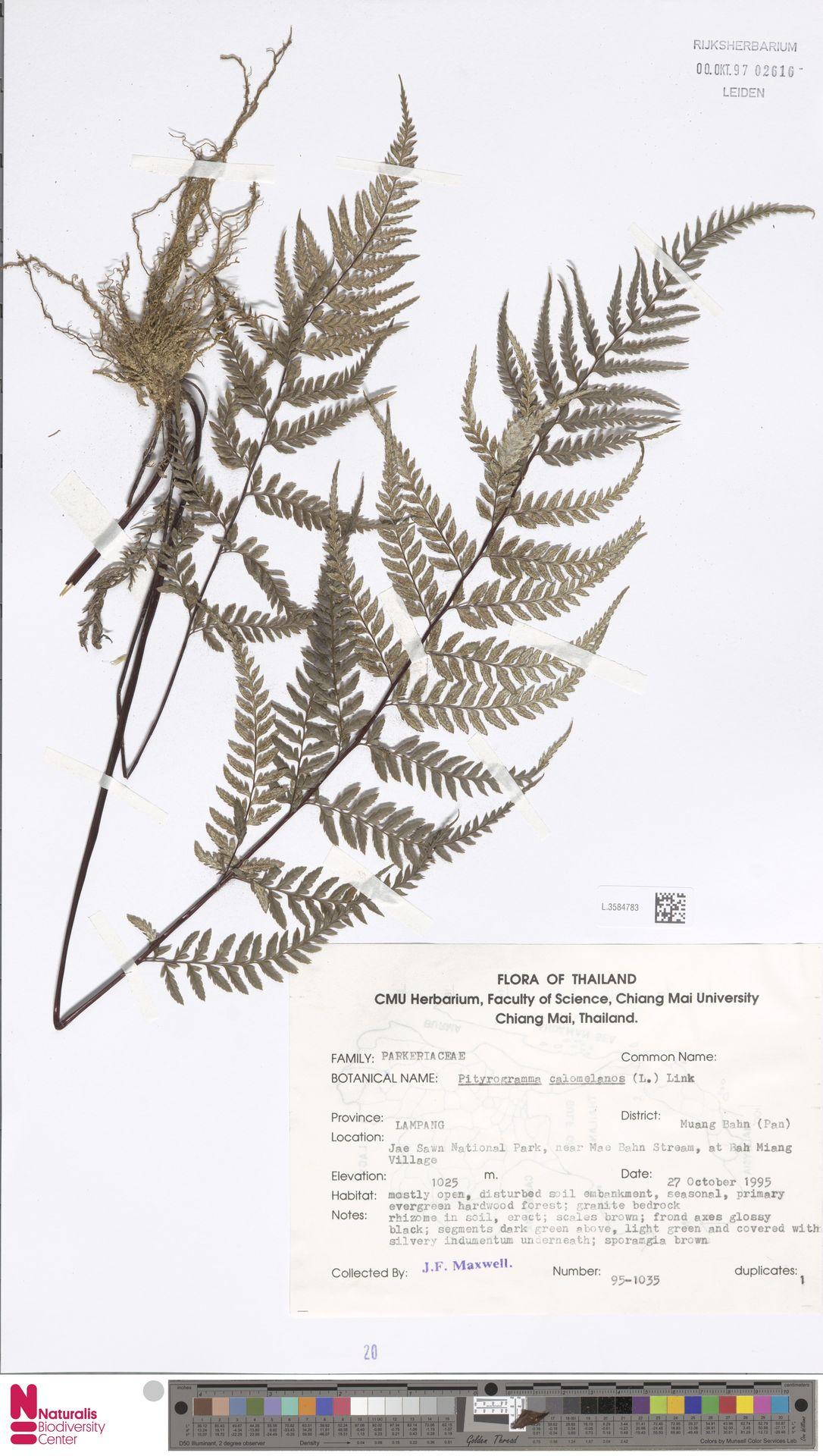 L.3584783 | Pityrogramma calomelanos (L.) Link