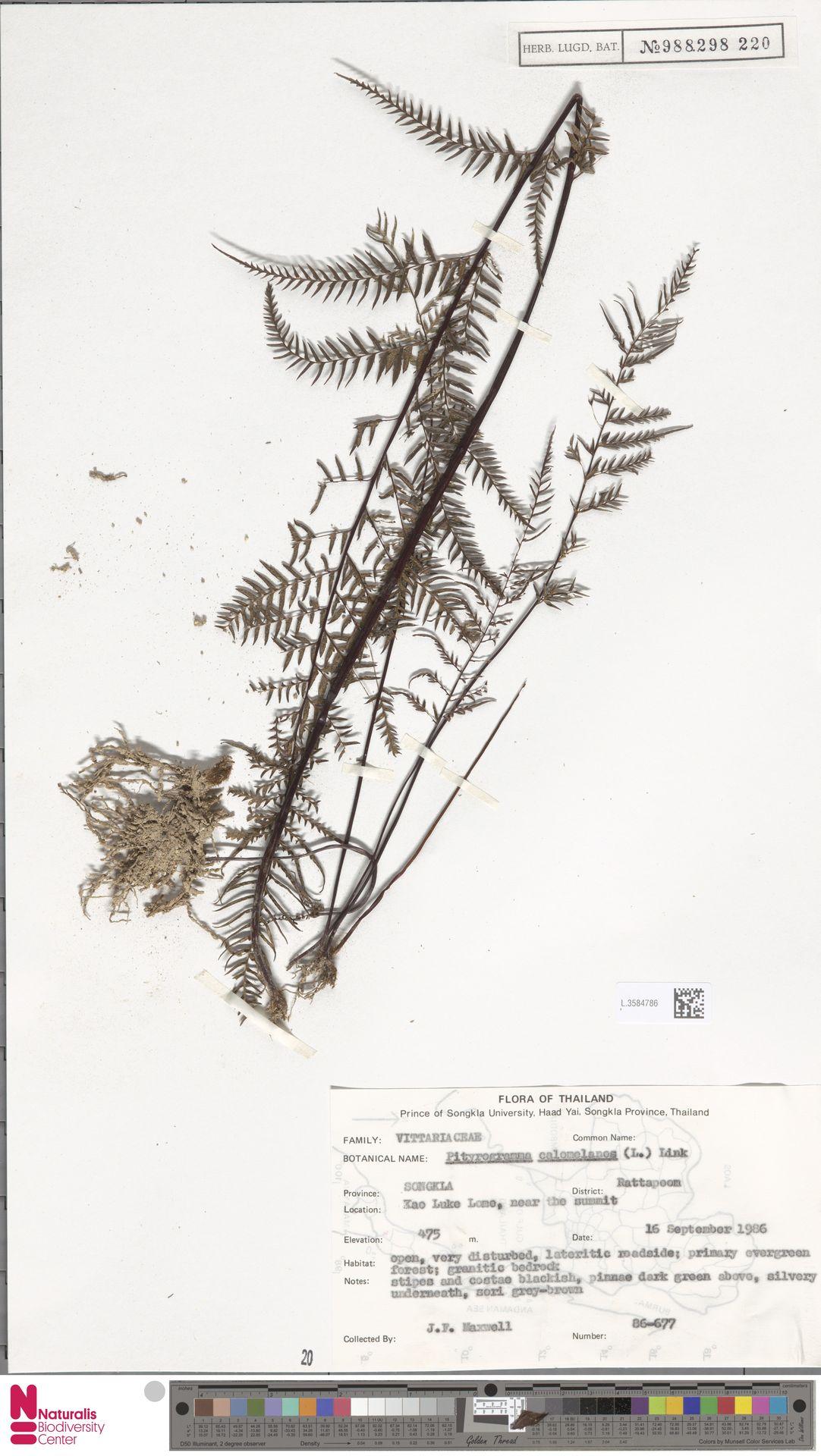 L.3584786   Pityrogramma calomelanos (L.) Link
