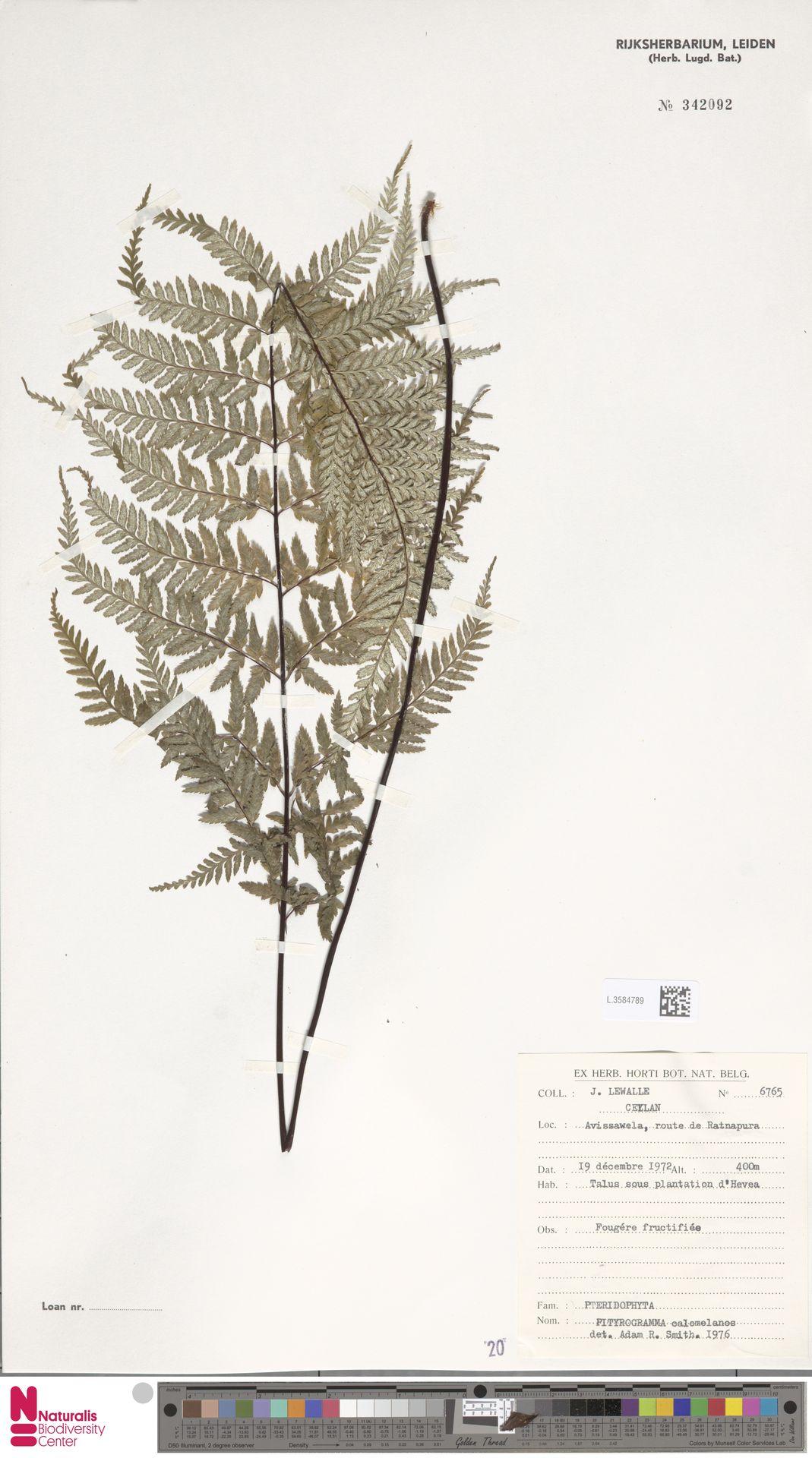 L.3584789   Pityrogramma calomelanos (L.) Link