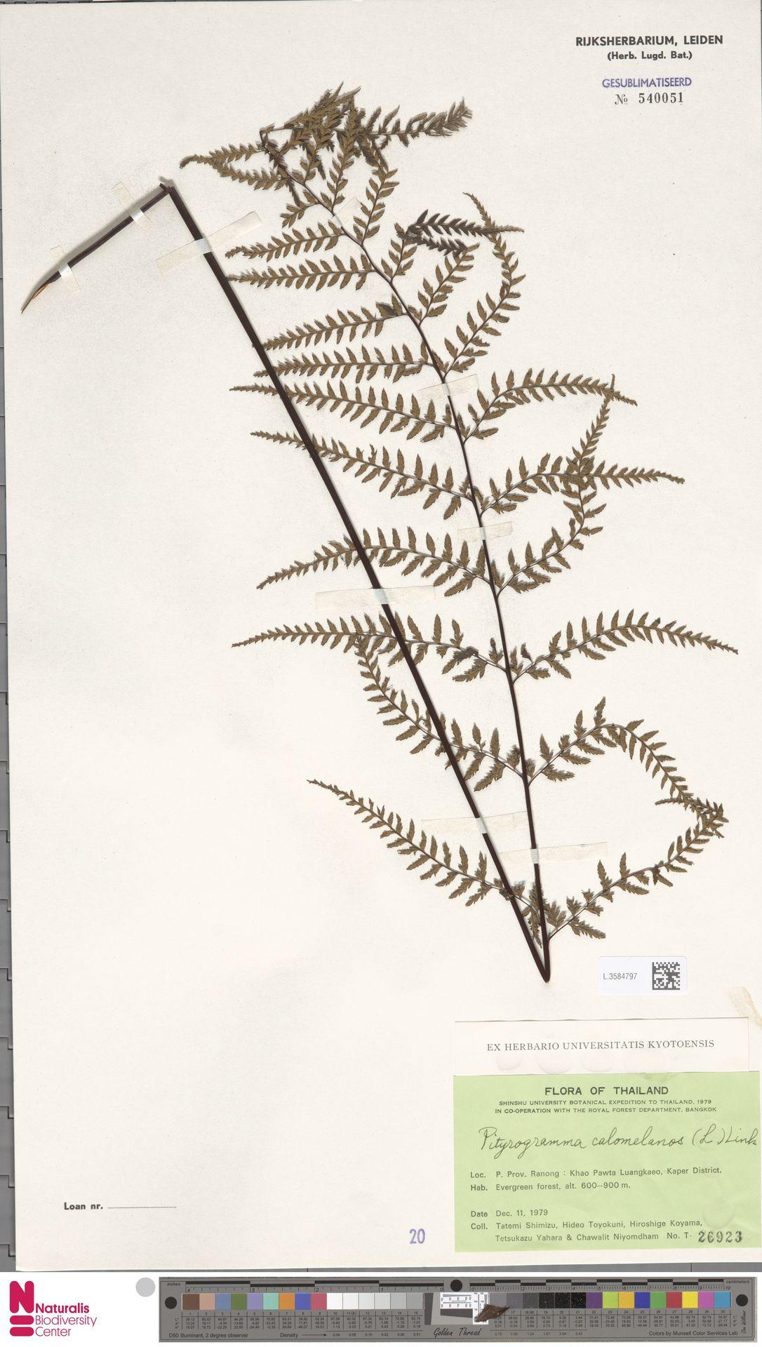 L.3584797 | Pityrogramma calomelanos (L.) Link