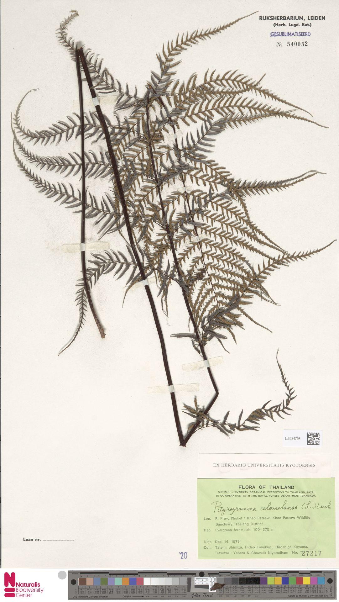 L.3584798 | Pityrogramma calomelanos (L.) Link