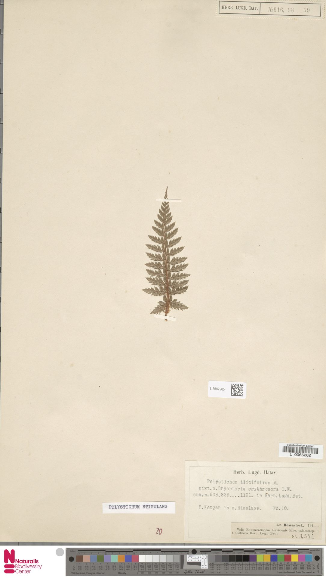 L.3587205 | Polystichum stimulans C.Presl