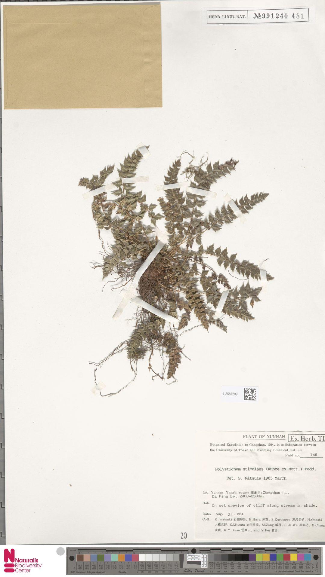 L.3587209 | Polystichum stimulans C.Presl