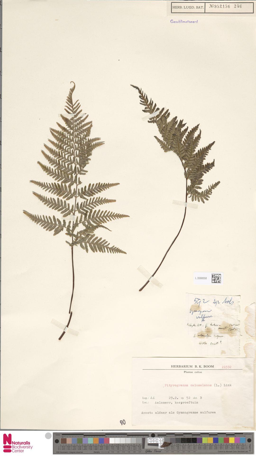 L.3590058 | Pityrogramma calomelanos (L.) Link