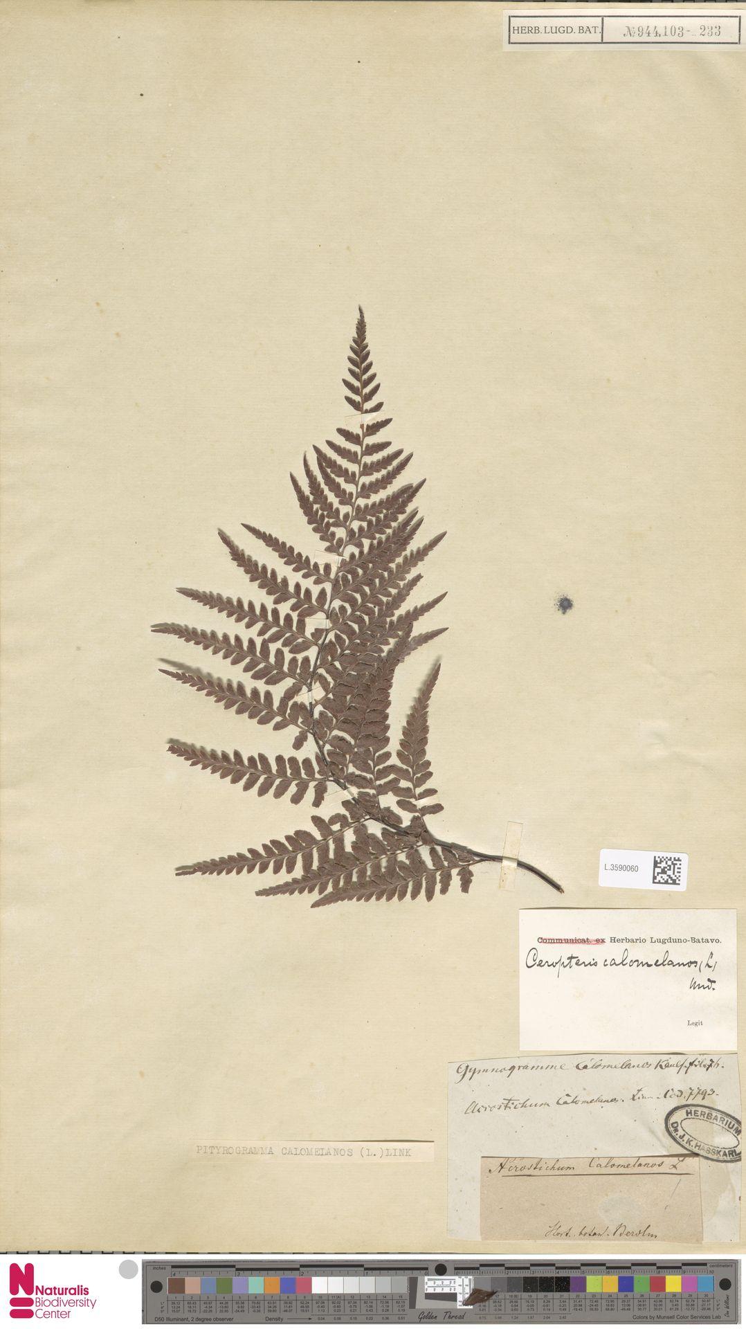L.3590060 | Pityrogramma calomelanos (L.) Link