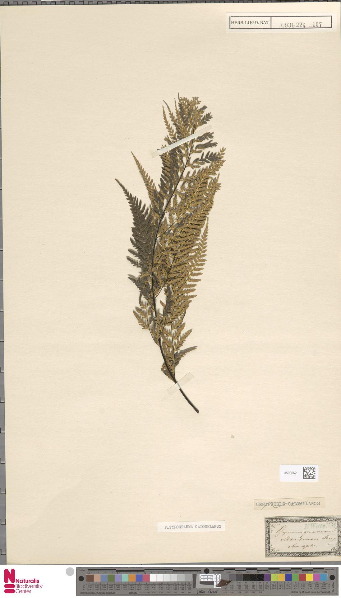 L.3590062   Pityrogramma calomelanos (L.) Link