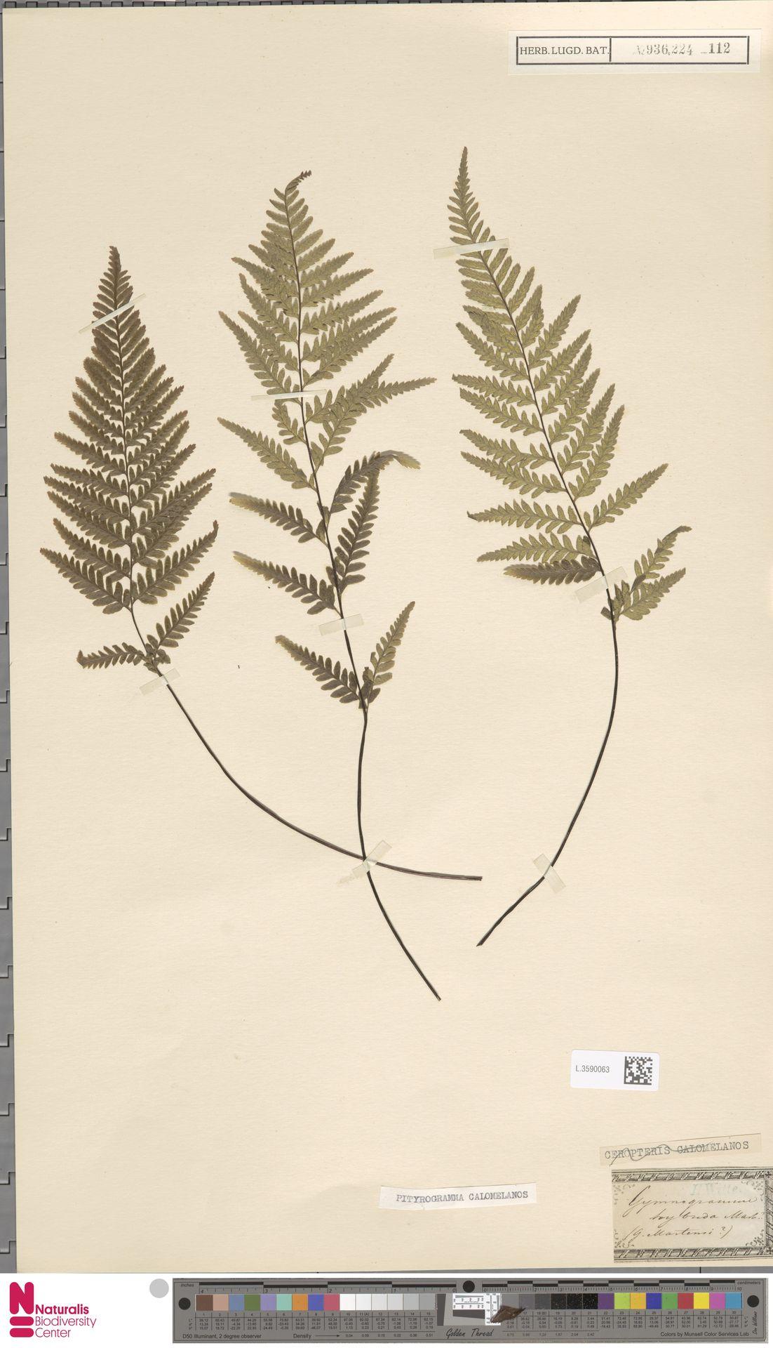 L.3590063   Pityrogramma calomelanos (L.) Link