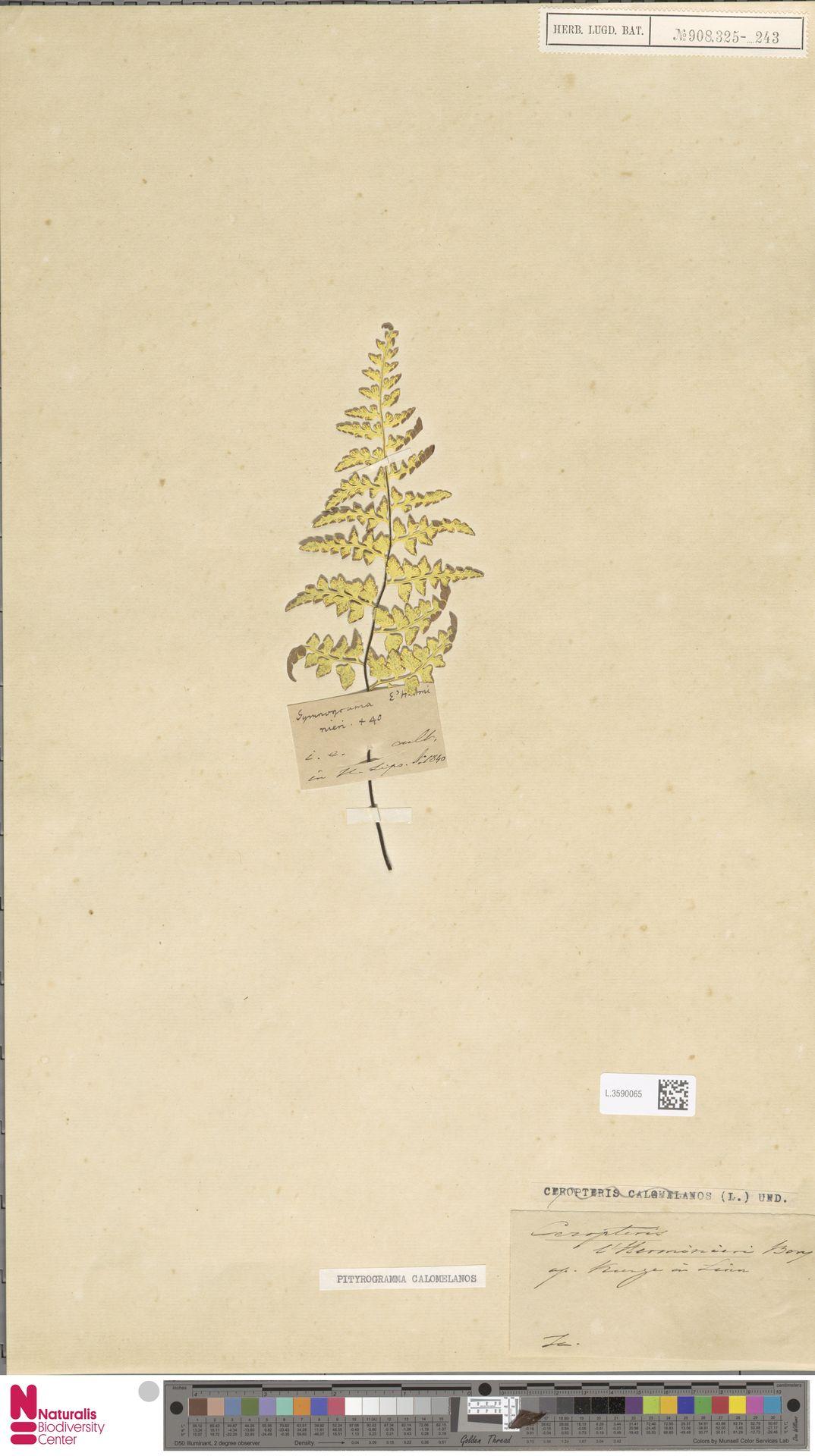 L.3590065 | Pityrogramma calomelanos (L.) Link