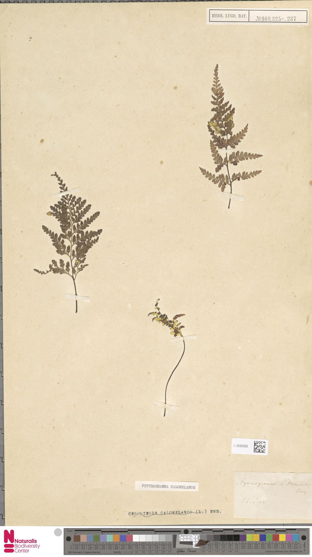 L.3590068 | Pityrogramma calomelanos (L.) Link