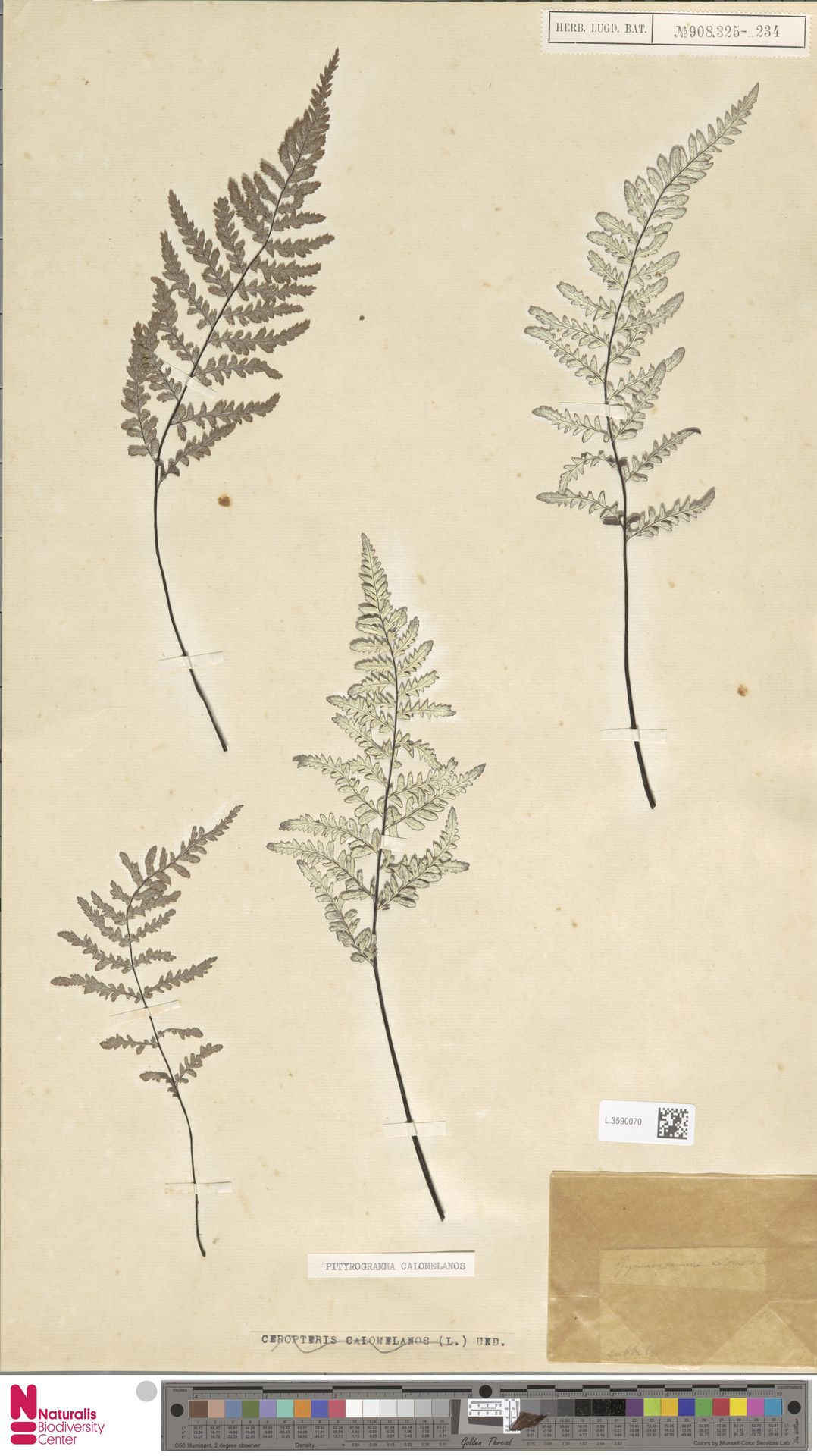 L.3590070 | Pityrogramma calomelanos (L.) Link