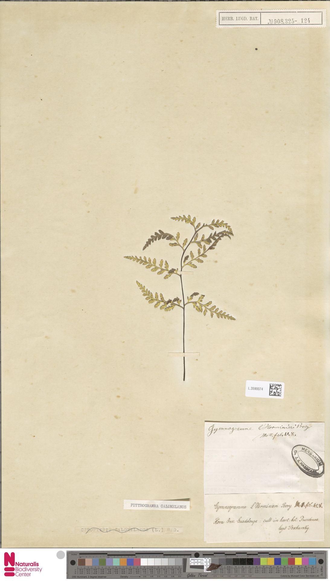 L.3590074 | Pityrogramma calomelanos (L.) Link