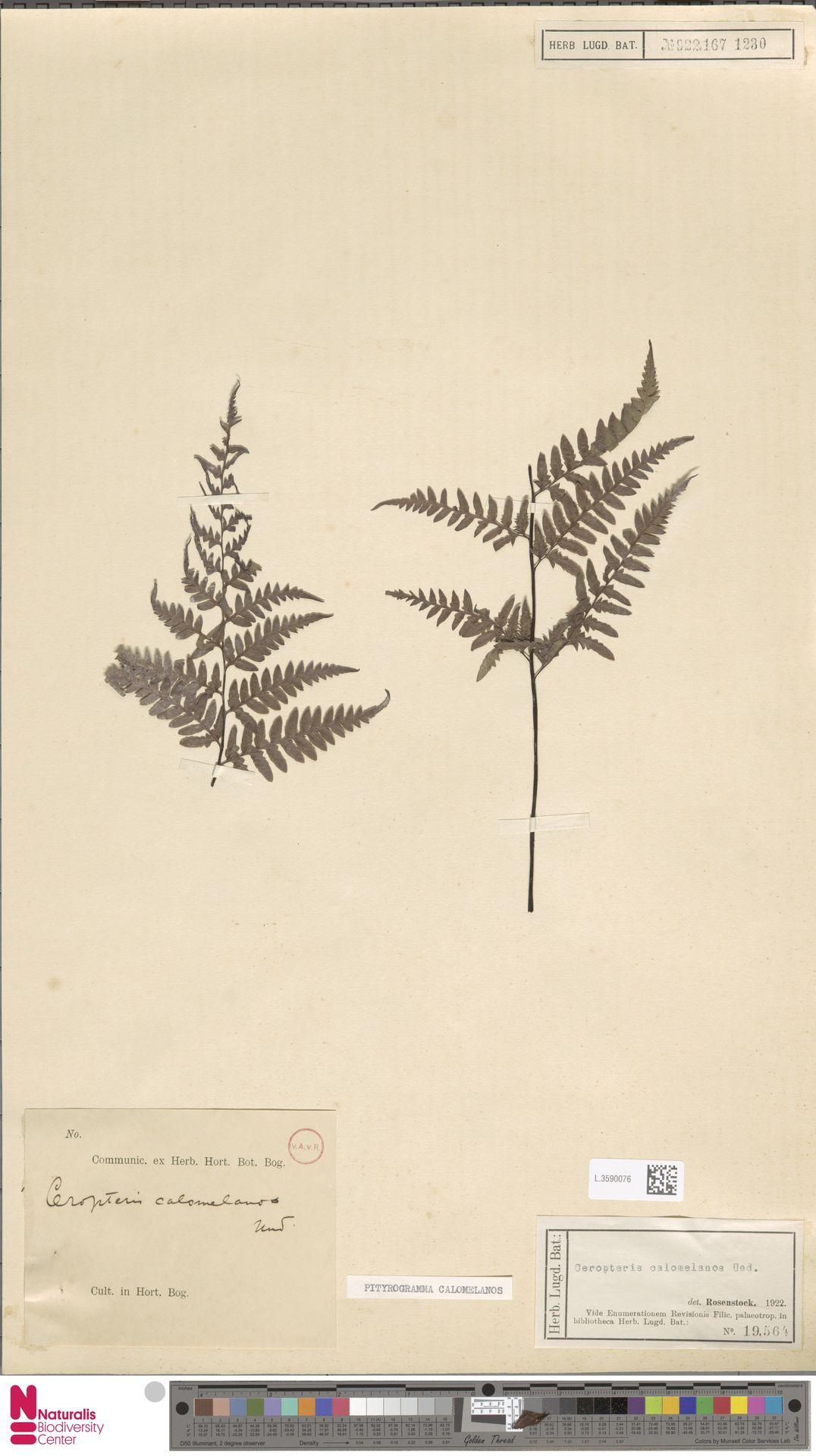 L.3590076   Pityrogramma calomelanos (L.) Link