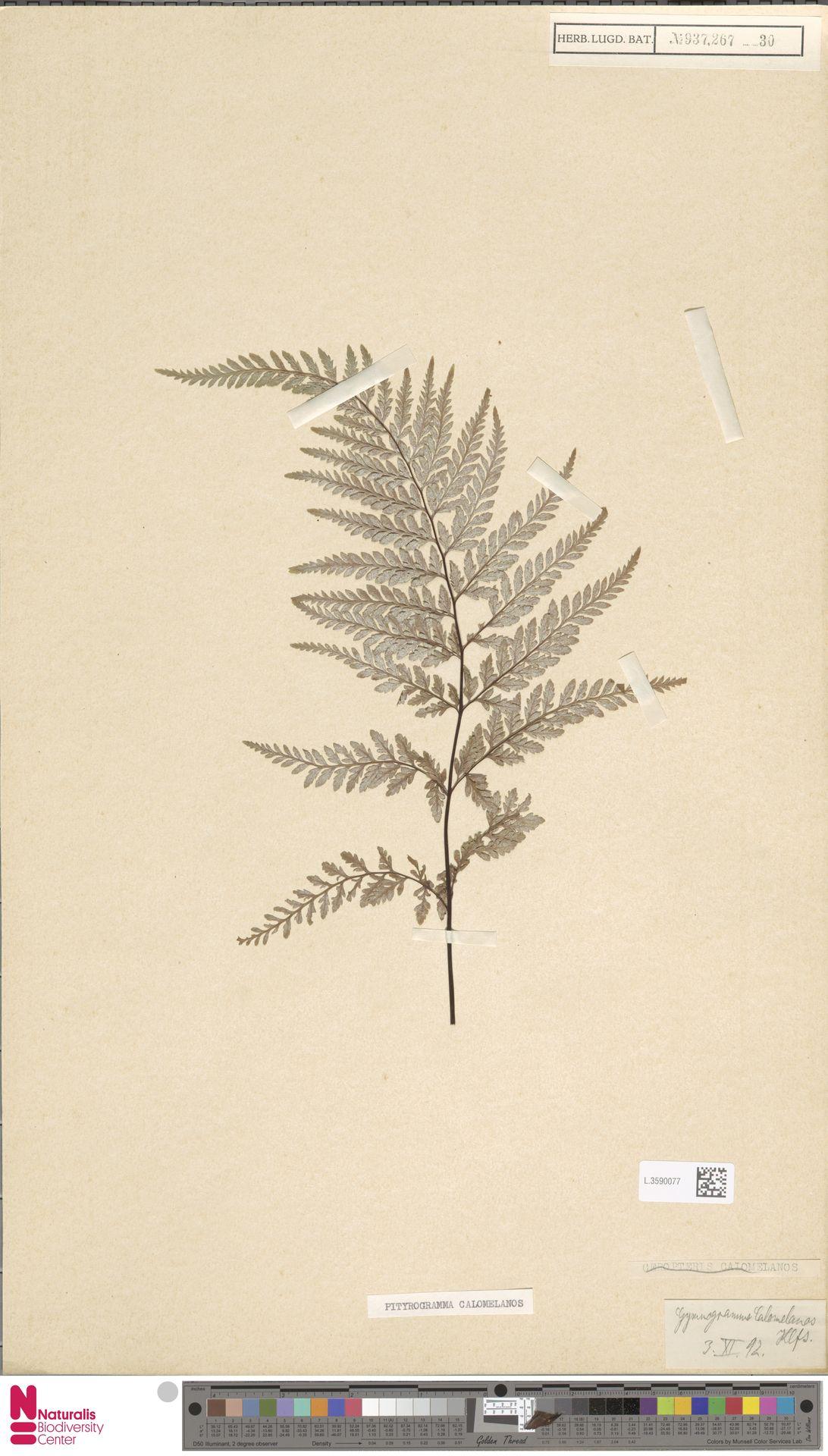 L.3590077 | Pityrogramma calomelanos (L.) Link