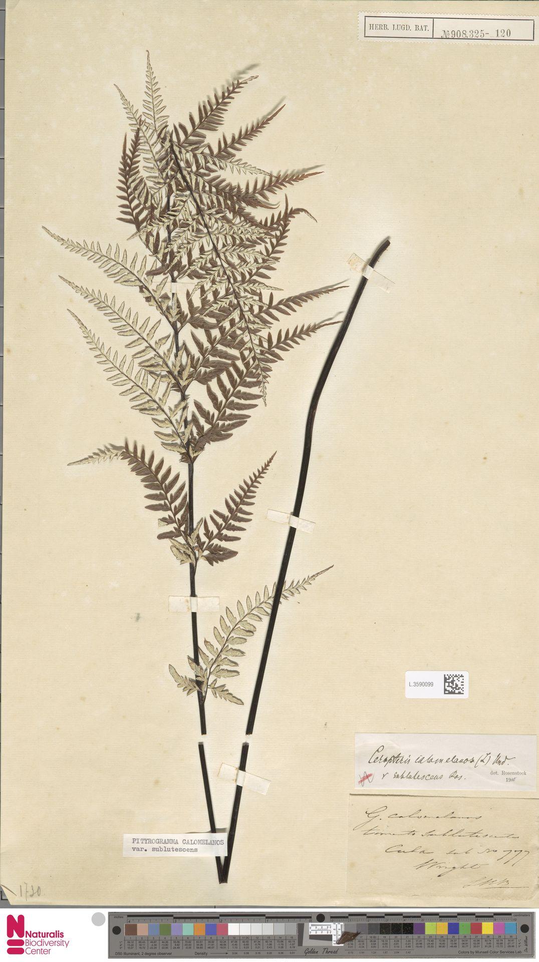 L.3590099 | Pityrogramma calomelanos (L.) Link