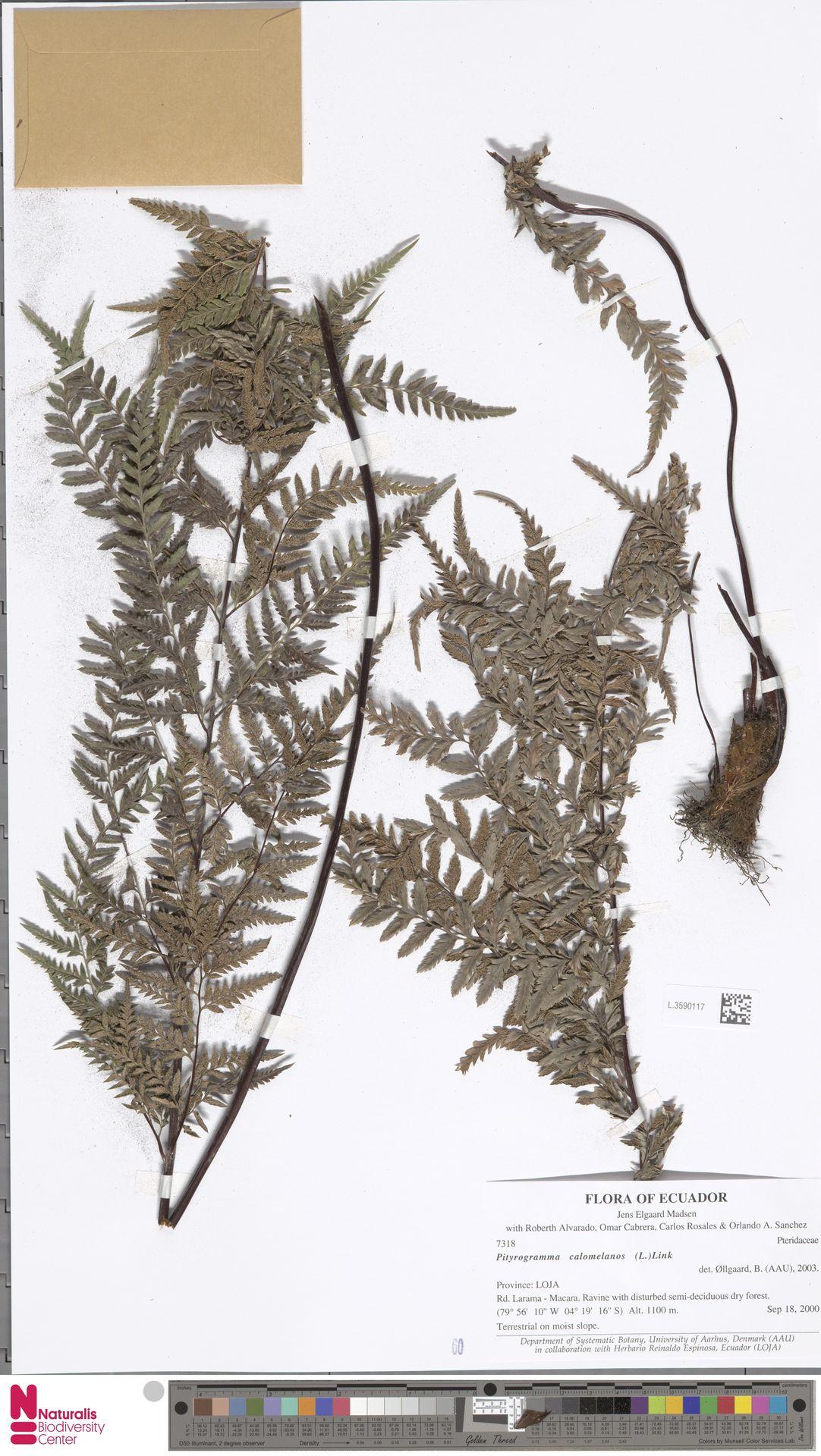 L.3590117 | Pityrogramma calomelanos (L.) Link