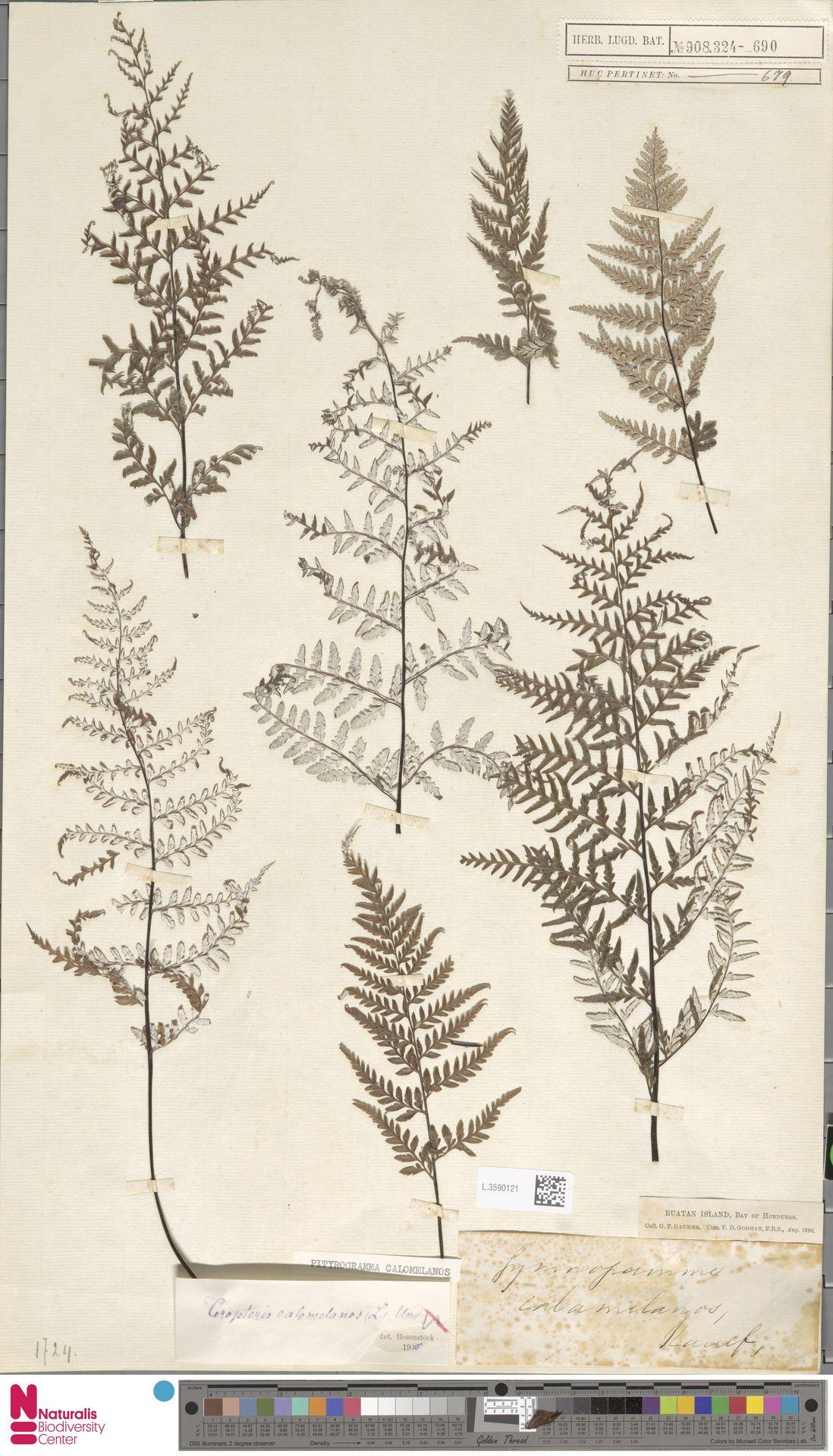 L.3590121 | Pityrogramma calomelanos (L.) Link