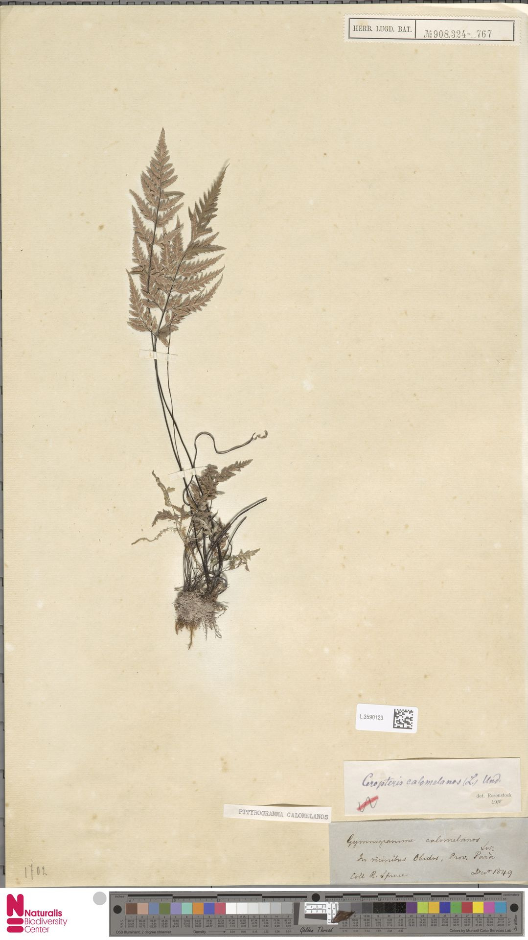 L.3590123 | Pityrogramma calomelanos (L.) Link