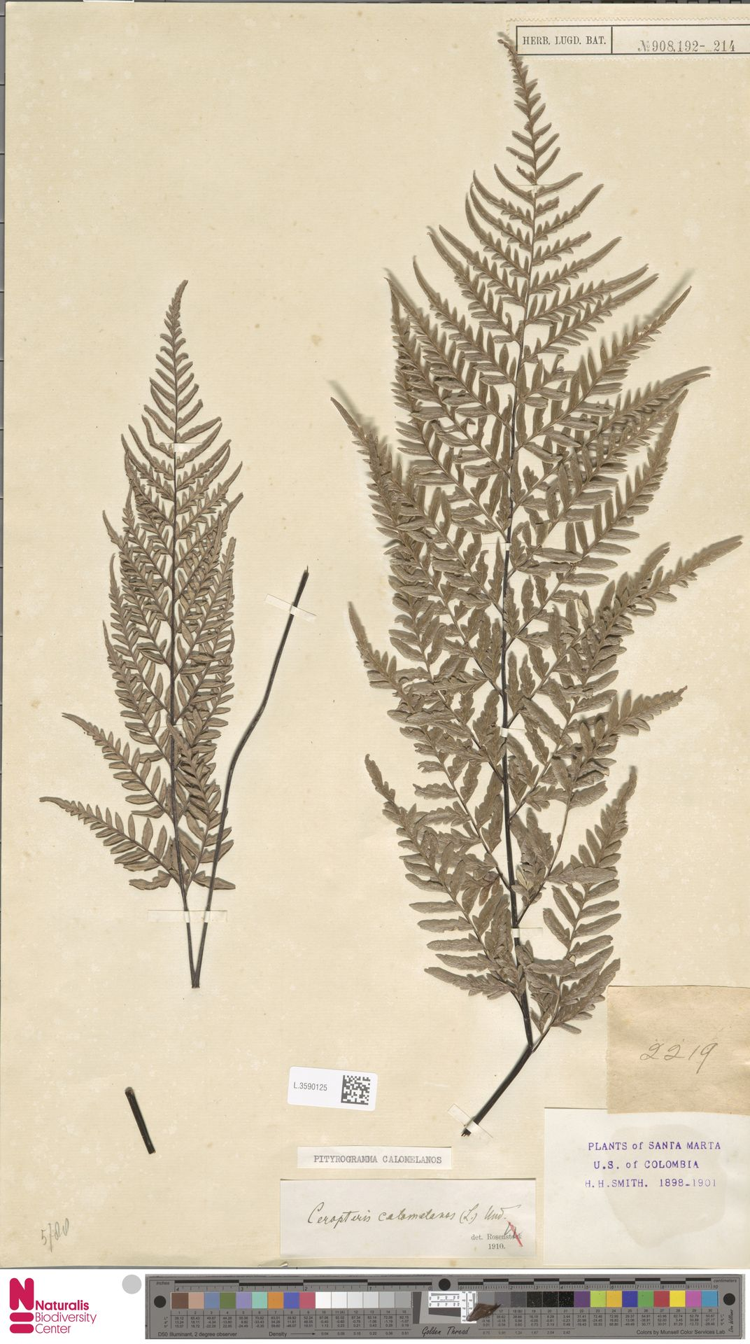 L.3590125 | Pityrogramma calomelanos (L.) Link