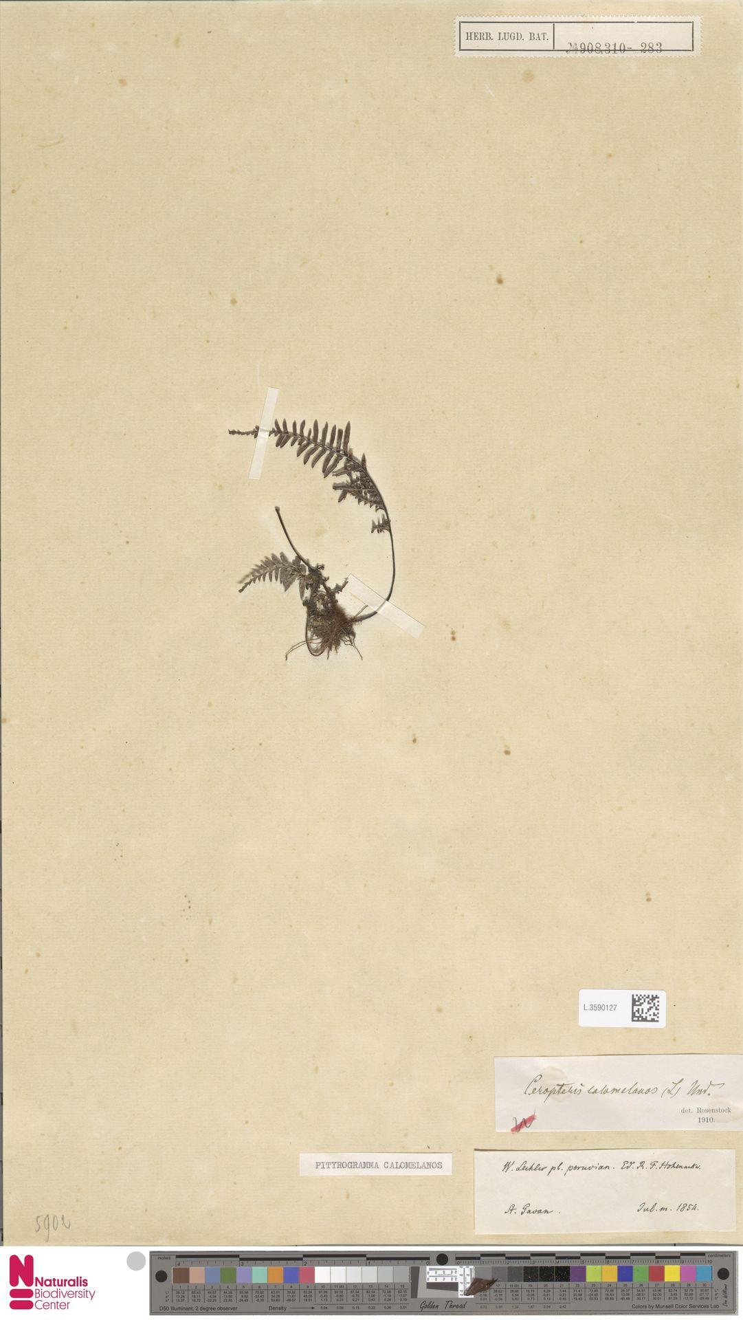 L.3590127 | Pityrogramma calomelanos (L.) Link