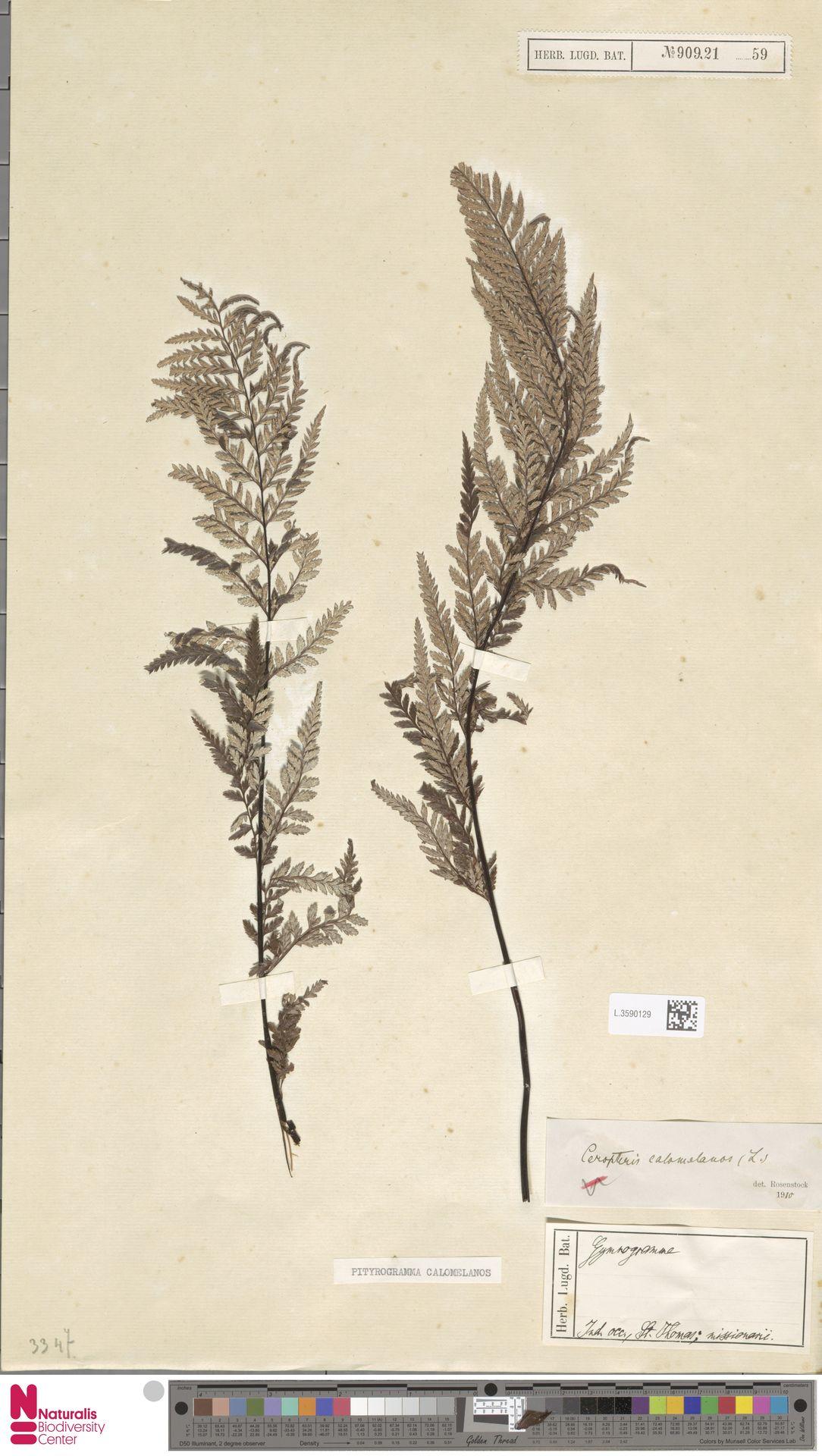 L.3590129 | Pityrogramma calomelanos (L.) Link