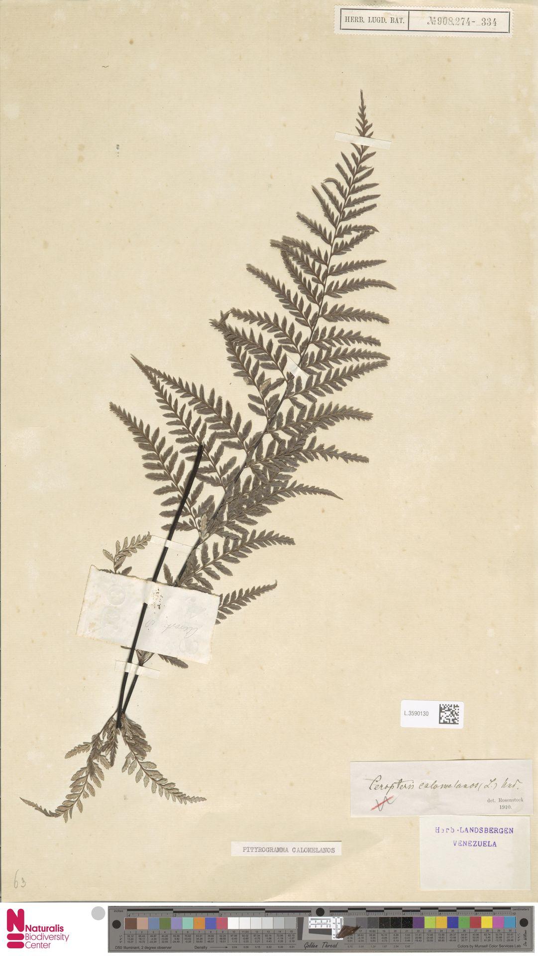 L.3590130 | Pityrogramma calomelanos (L.) Link
