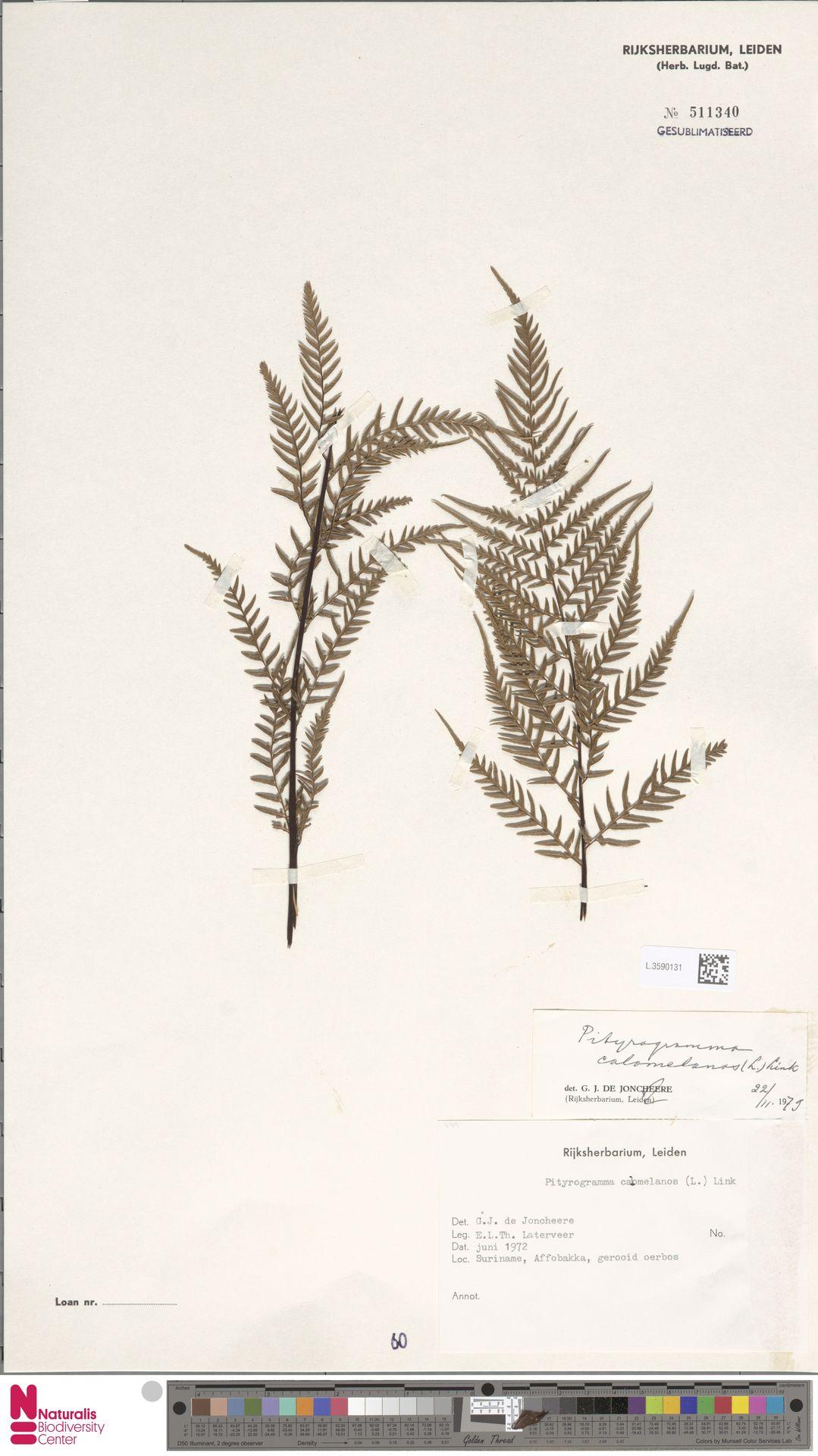 L.3590131 | Pityrogramma calomelanos (L.) Link