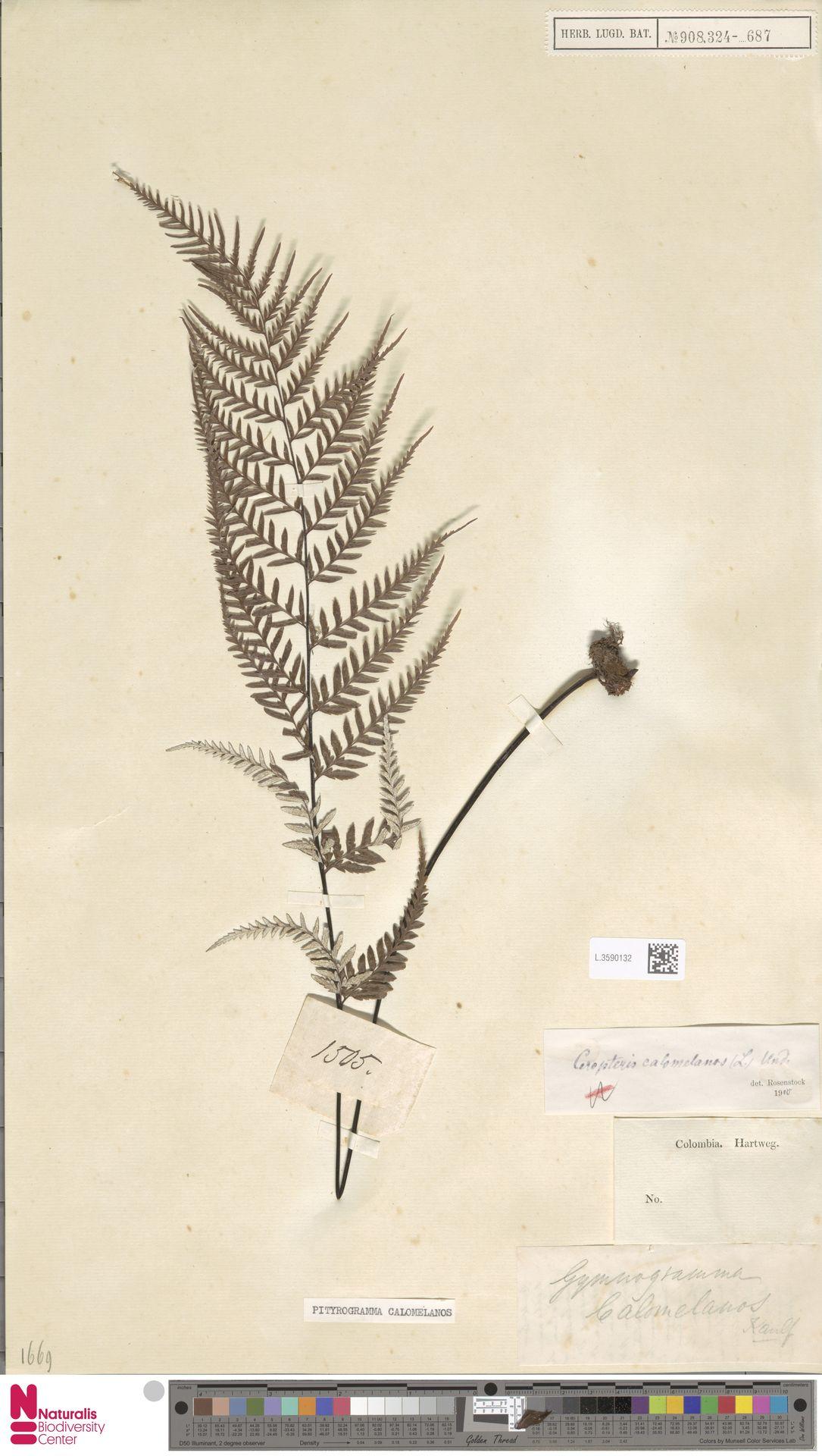 L.3590132 | Pityrogramma calomelanos (L.) Link