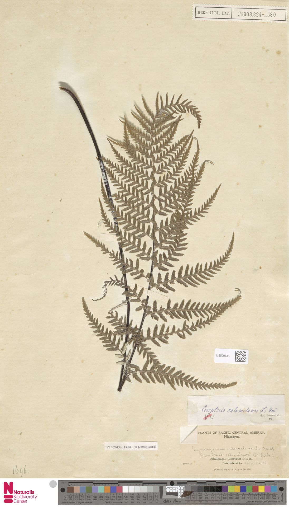 L.3590136 | Pityrogramma calomelanos (L.) Link