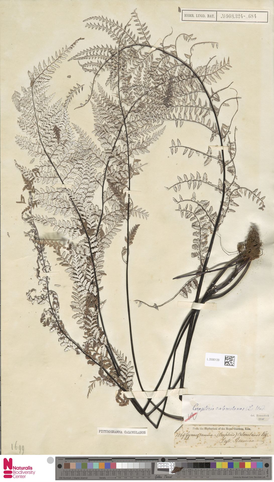 L.3590139   Pityrogramma calomelanos (L.) Link