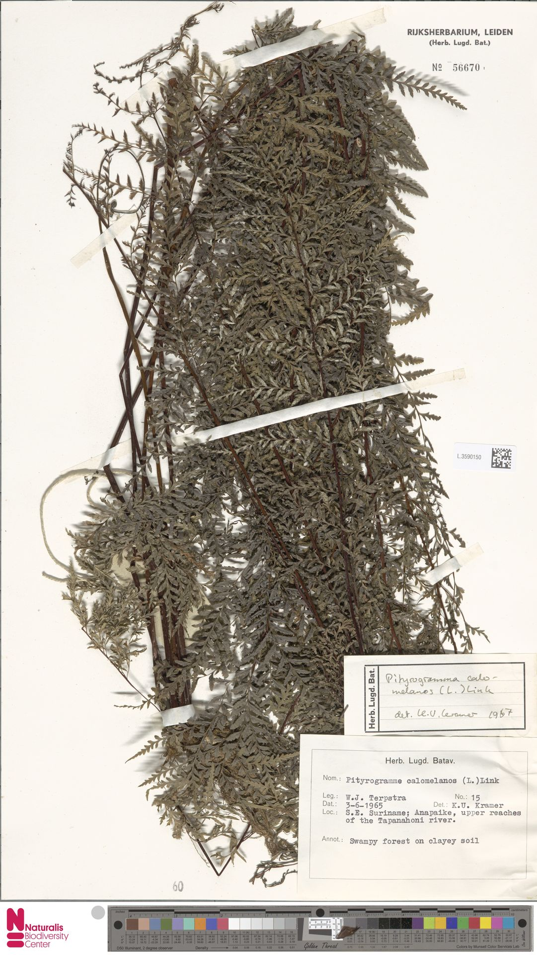 L.3590150 | Pityrogramma calomelanos (L.) Link
