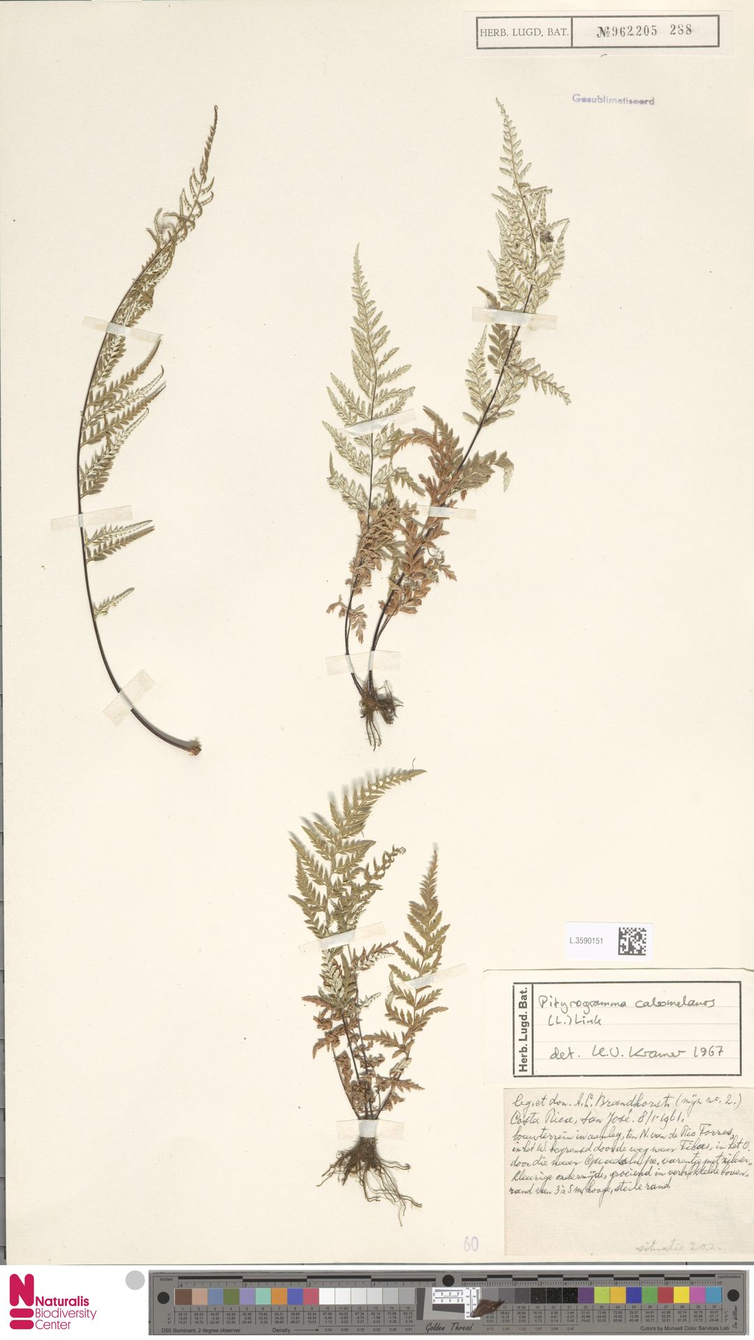 L.3590151 | Pityrogramma calomelanos (L.) Link