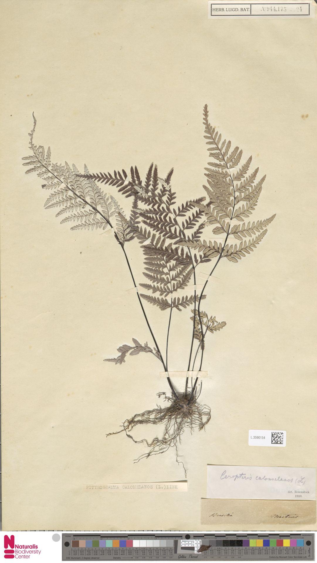 L.3590154 | Pityrogramma calomelanos (L.) Link