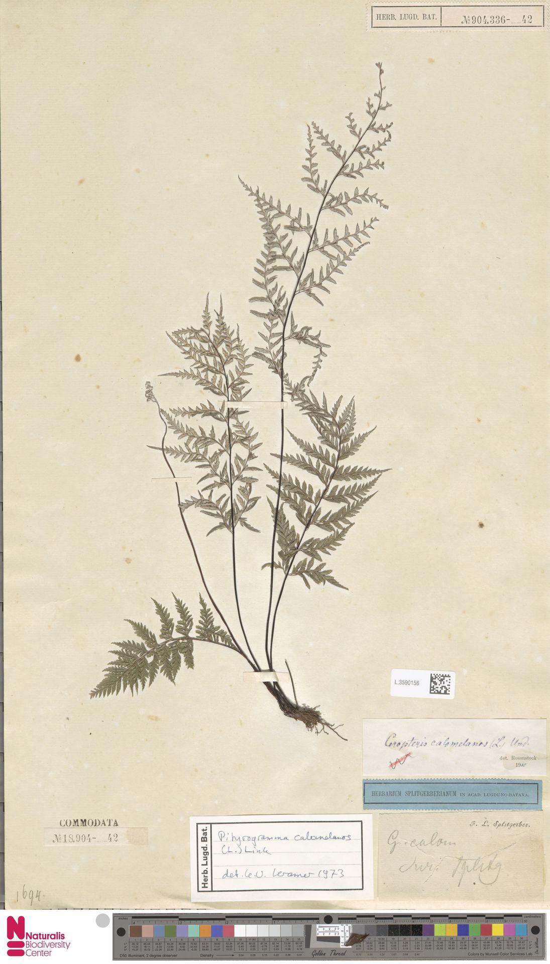 L.3590156 | Pityrogramma calomelanos (L.) Link