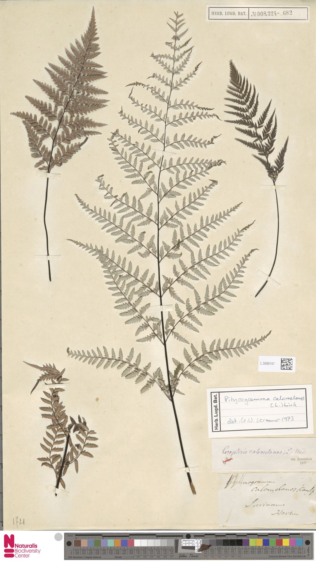 L.3590157   Pityrogramma calomelanos (L.) Link