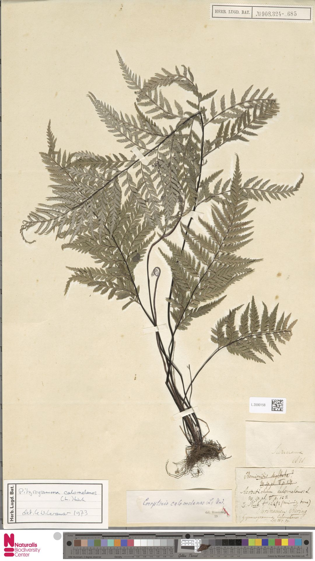 L.3590158 | Pityrogramma calomelanos (L.) Link