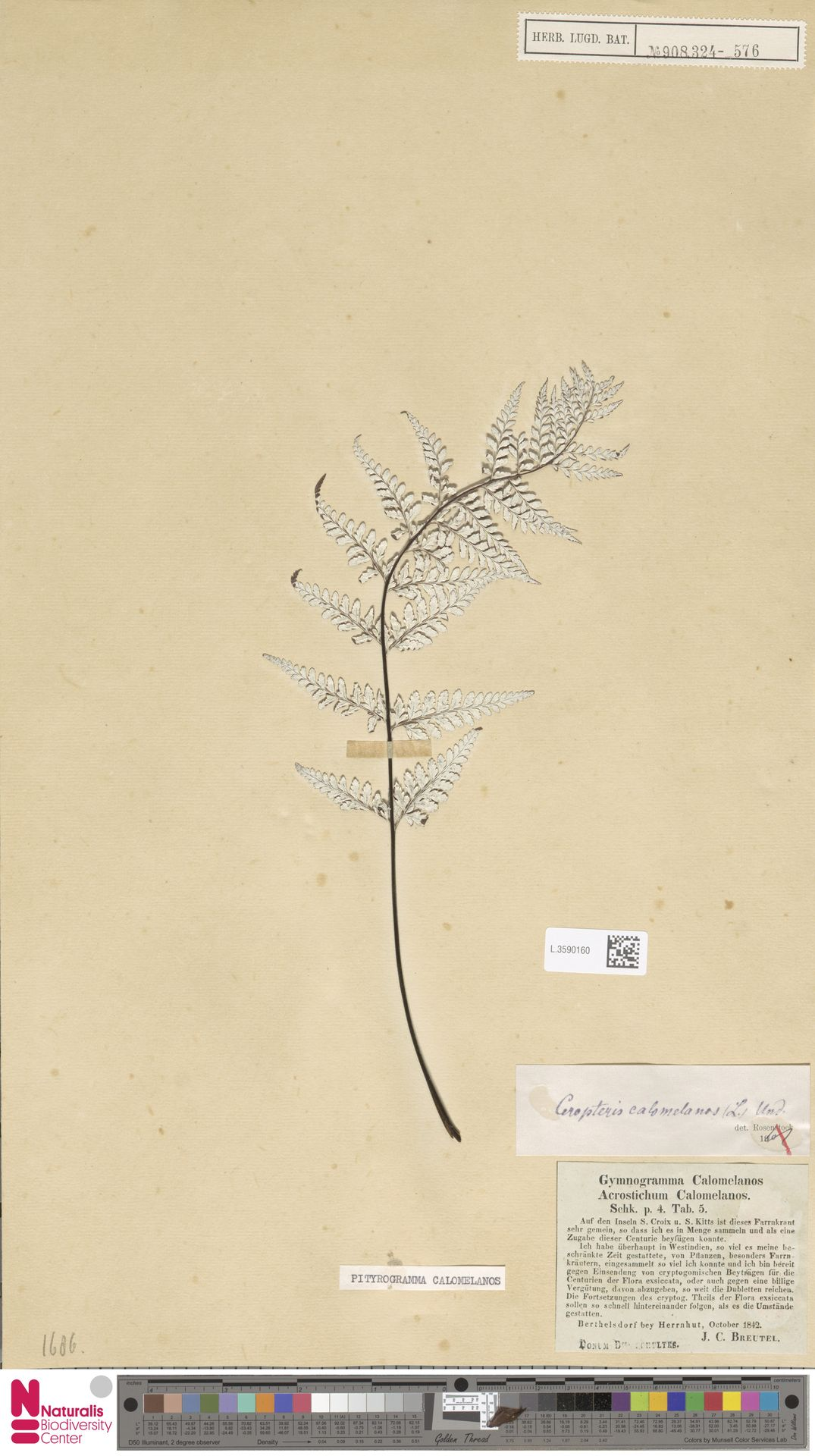 L.3590160 | Pityrogramma calomelanos (L.) Link
