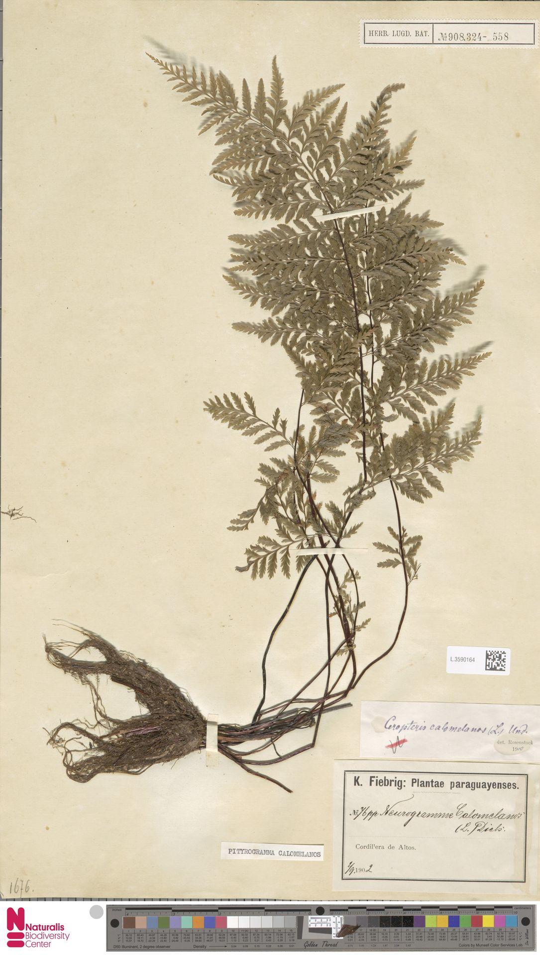 L.3590164 | Pityrogramma calomelanos (L.) Link