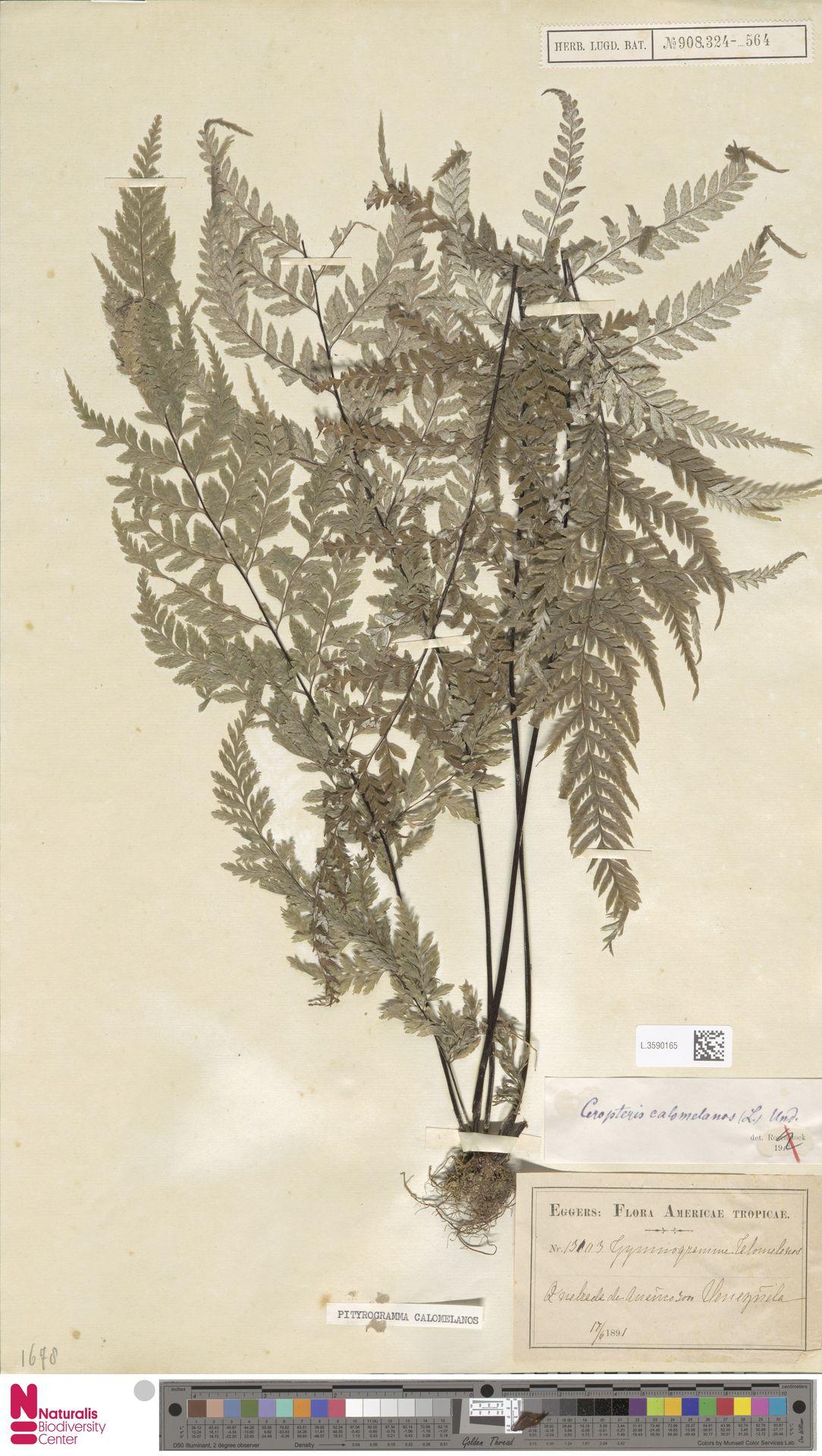 L.3590165 | Pityrogramma calomelanos (L.) Link