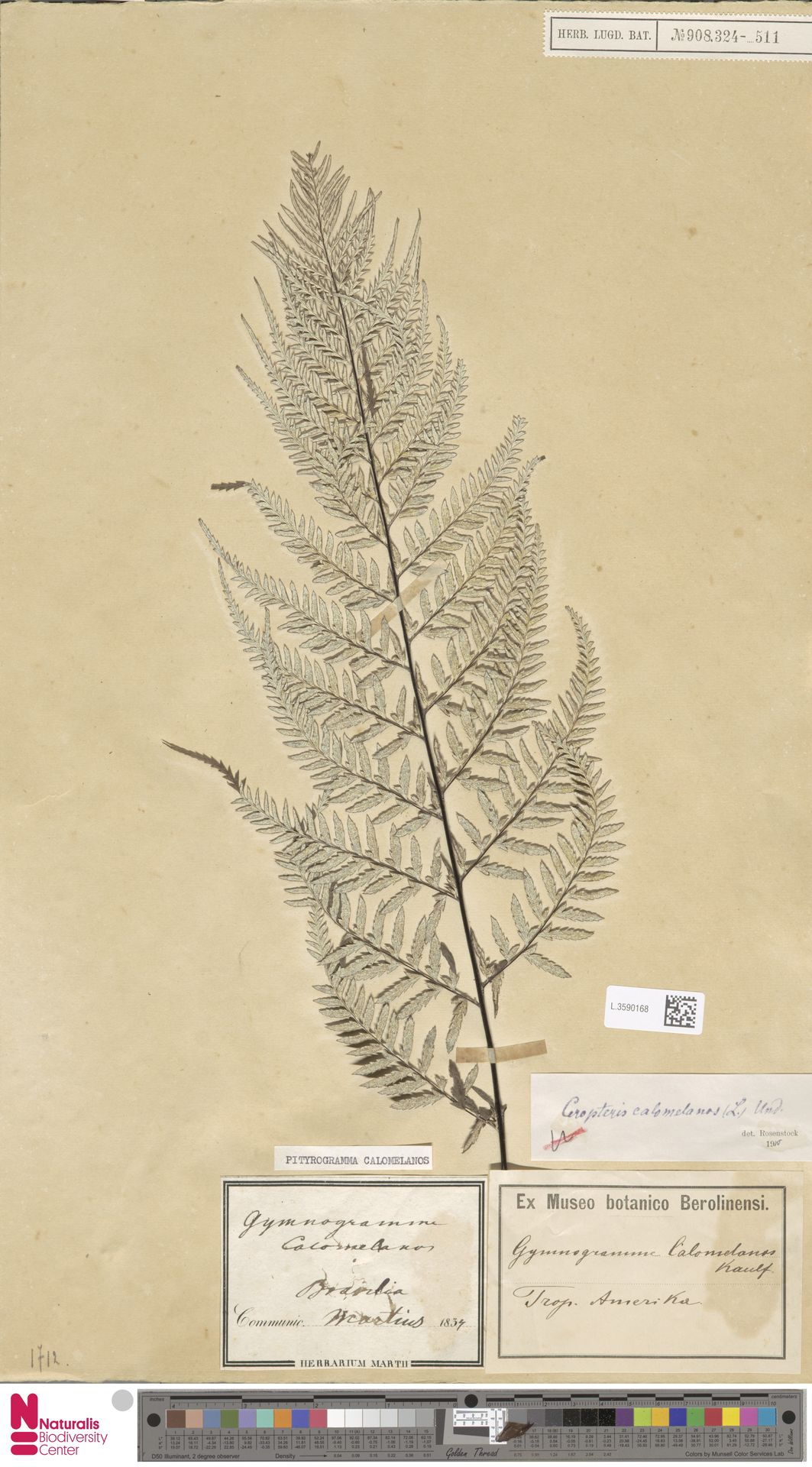 L.3590168 | Pityrogramma calomelanos (L.) Link