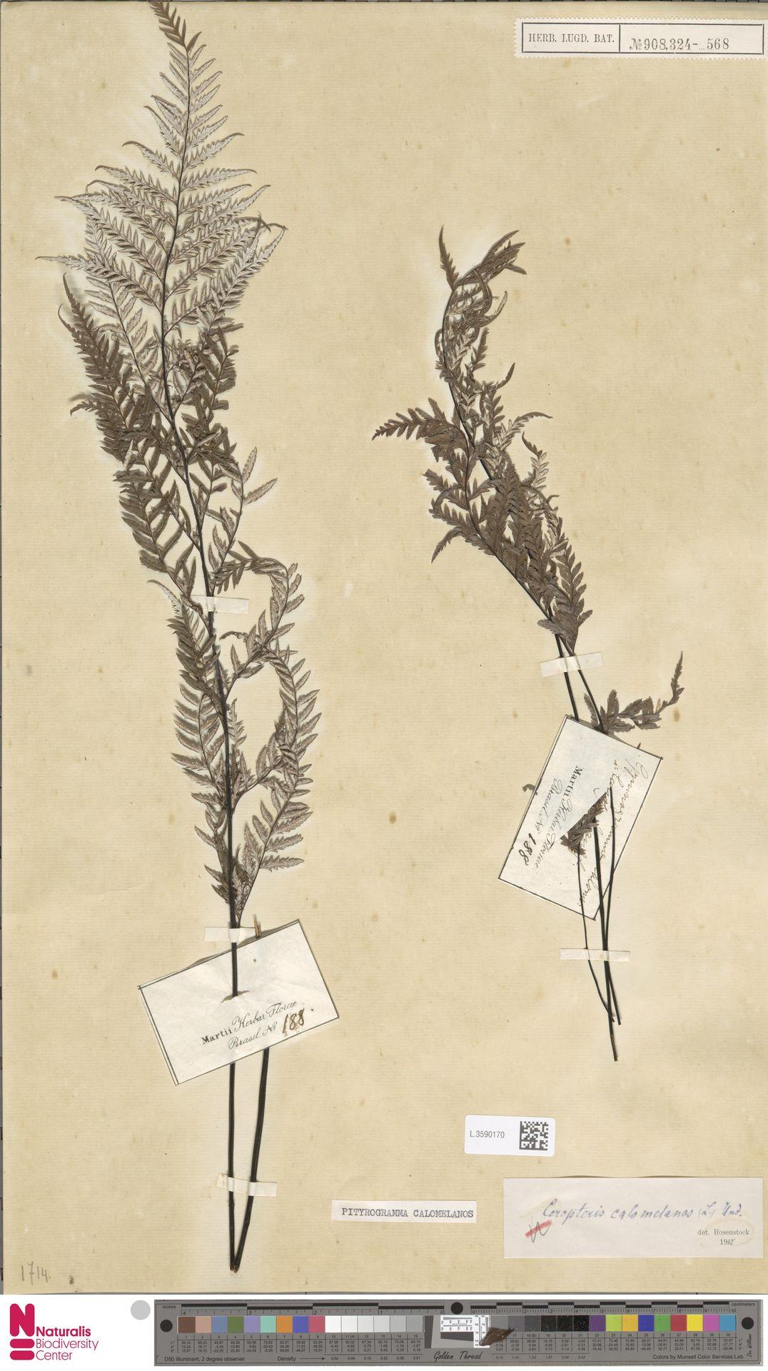 L.3590170 | Pityrogramma calomelanos (L.) Link