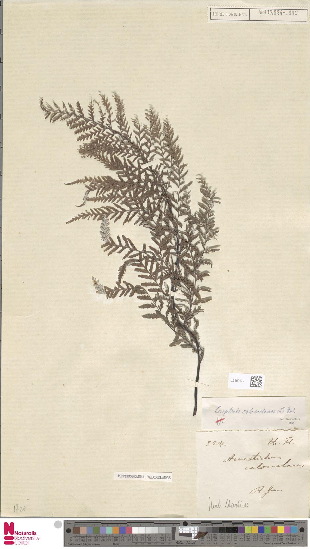 L.3590172 | Pityrogramma calomelanos (L.) Link