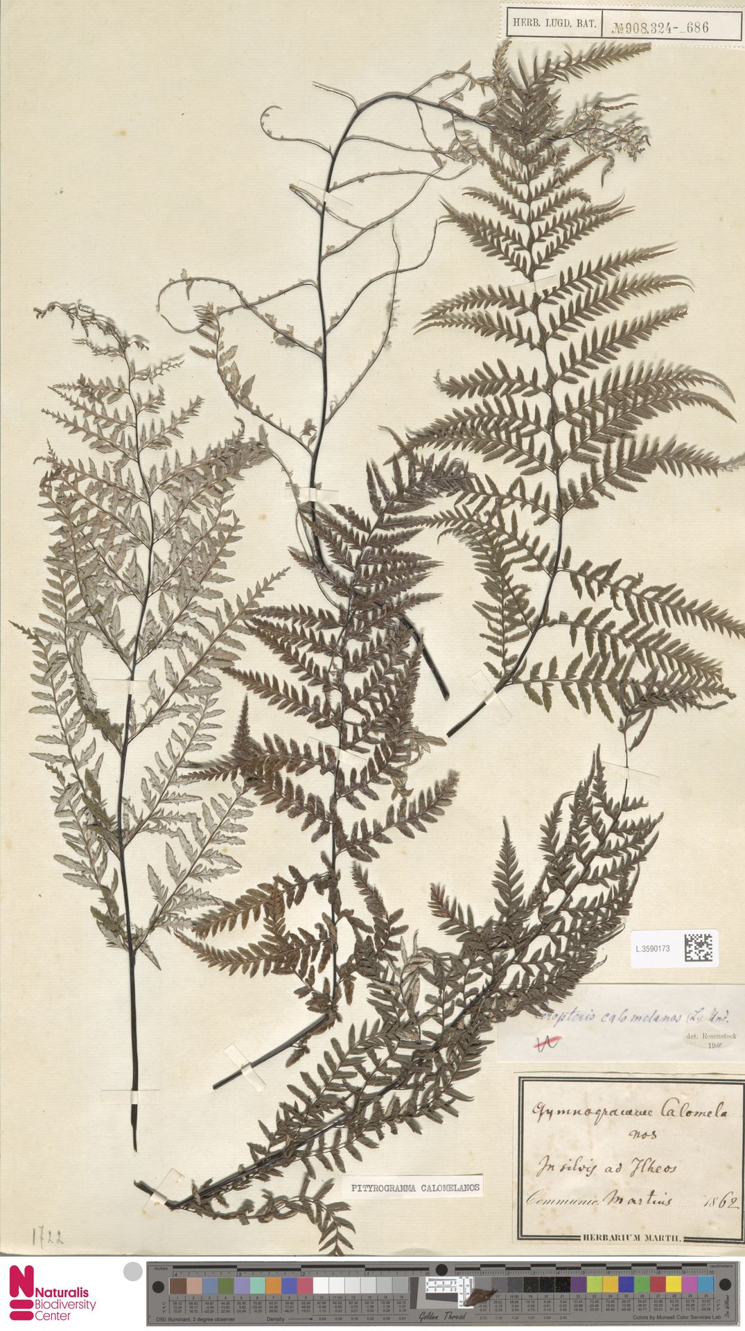 L.3590173 | Pityrogramma calomelanos (L.) Link