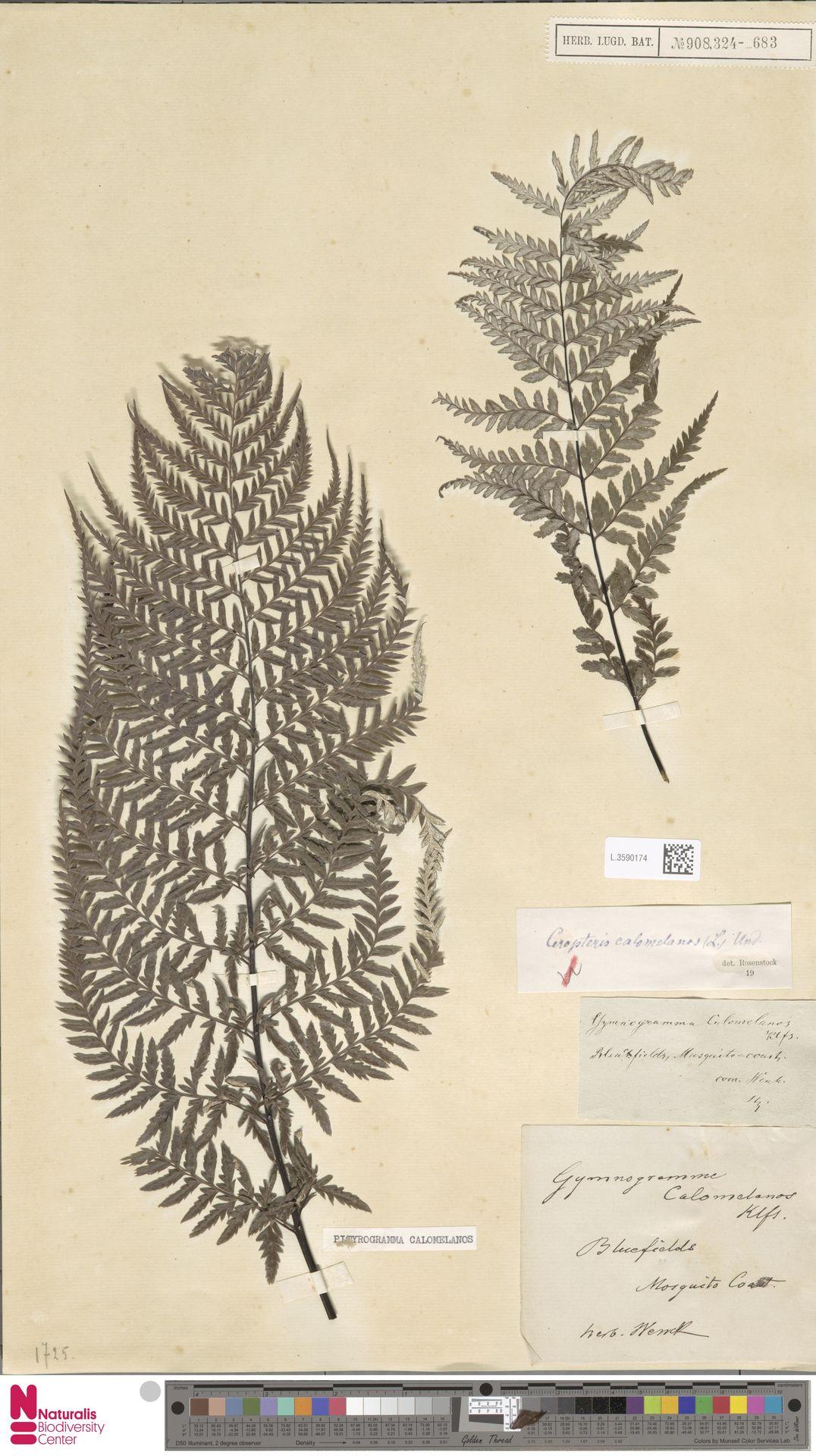 L.3590174 | Pityrogramma calomelanos (L.) Link