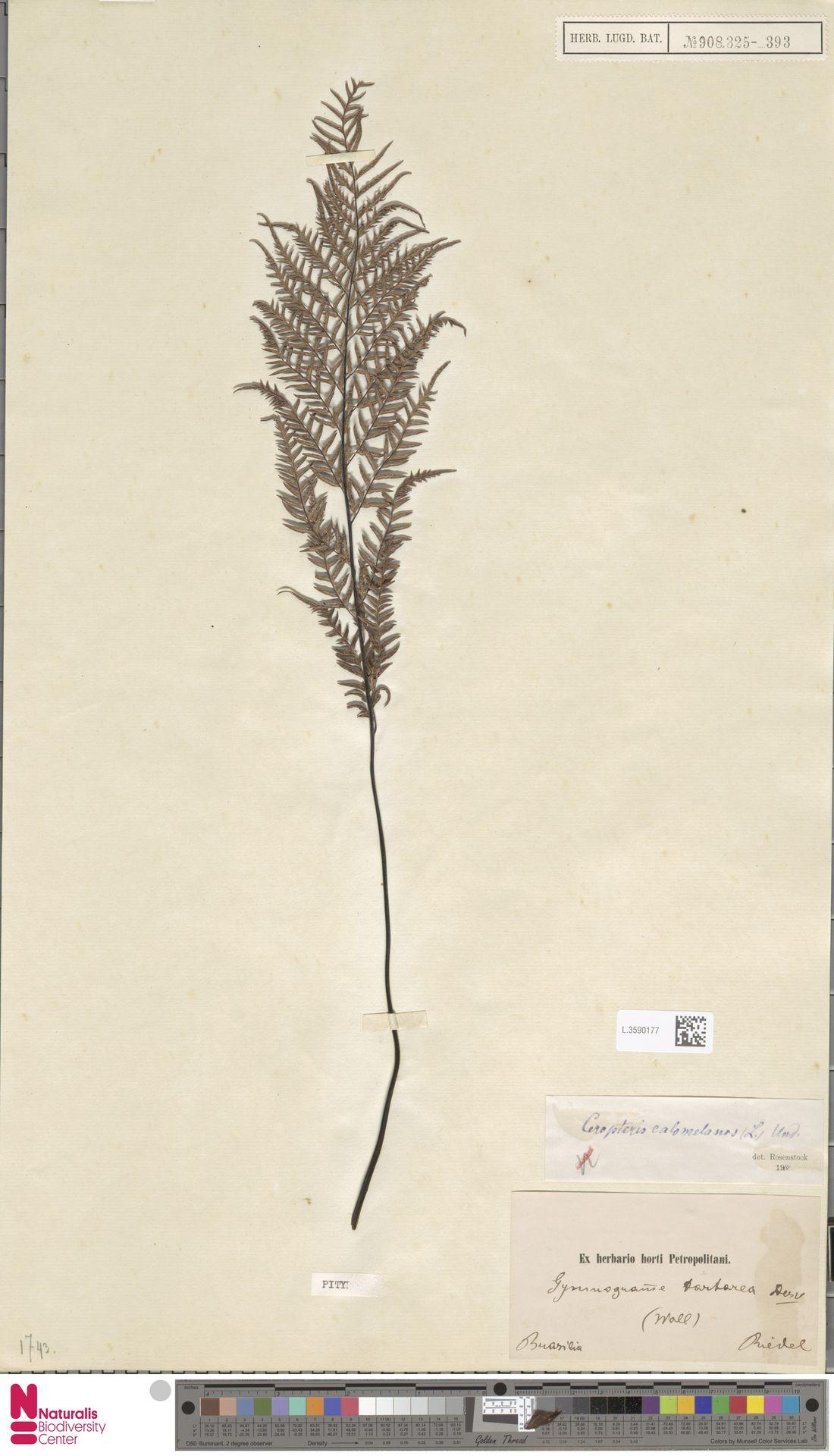 L.3590177 | Pityrogramma calomelanos (L.) Link