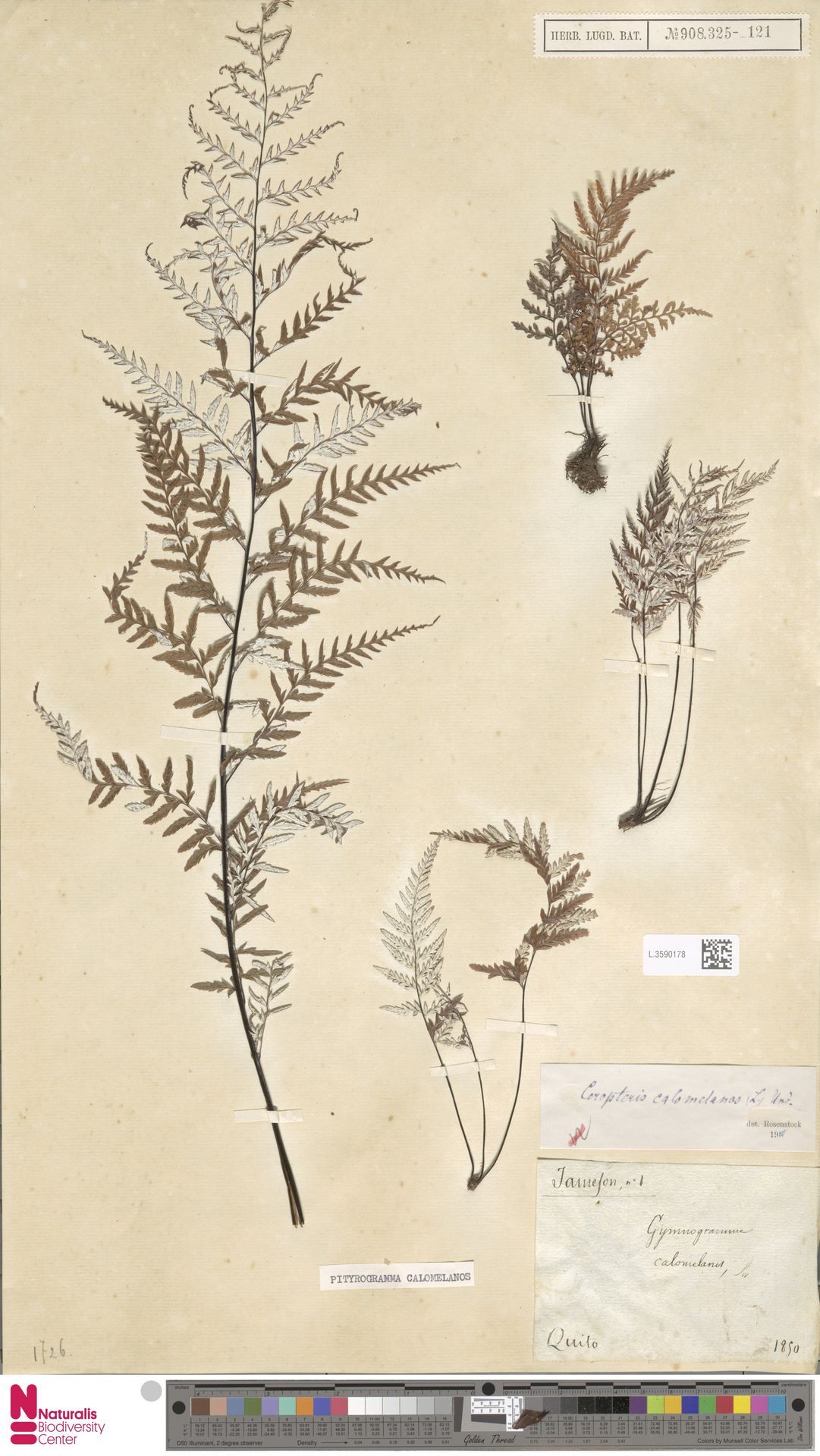 L.3590178 | Pityrogramma calomelanos (L.) Link