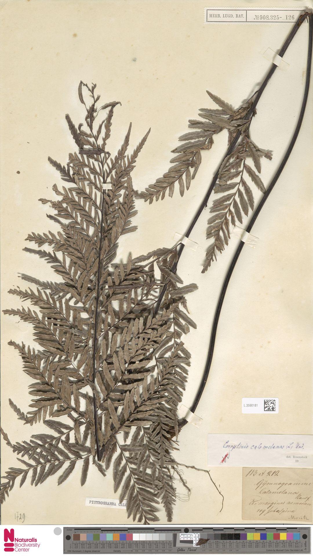 L.3590181   Pityrogramma calomelanos (L.) Link