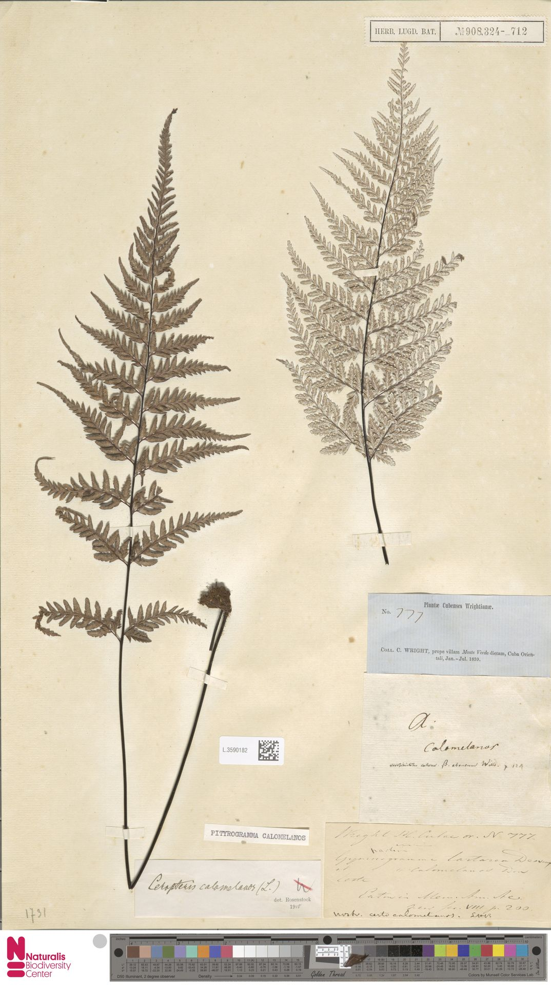 L.3590182 | Pityrogramma calomelanos (L.) Link