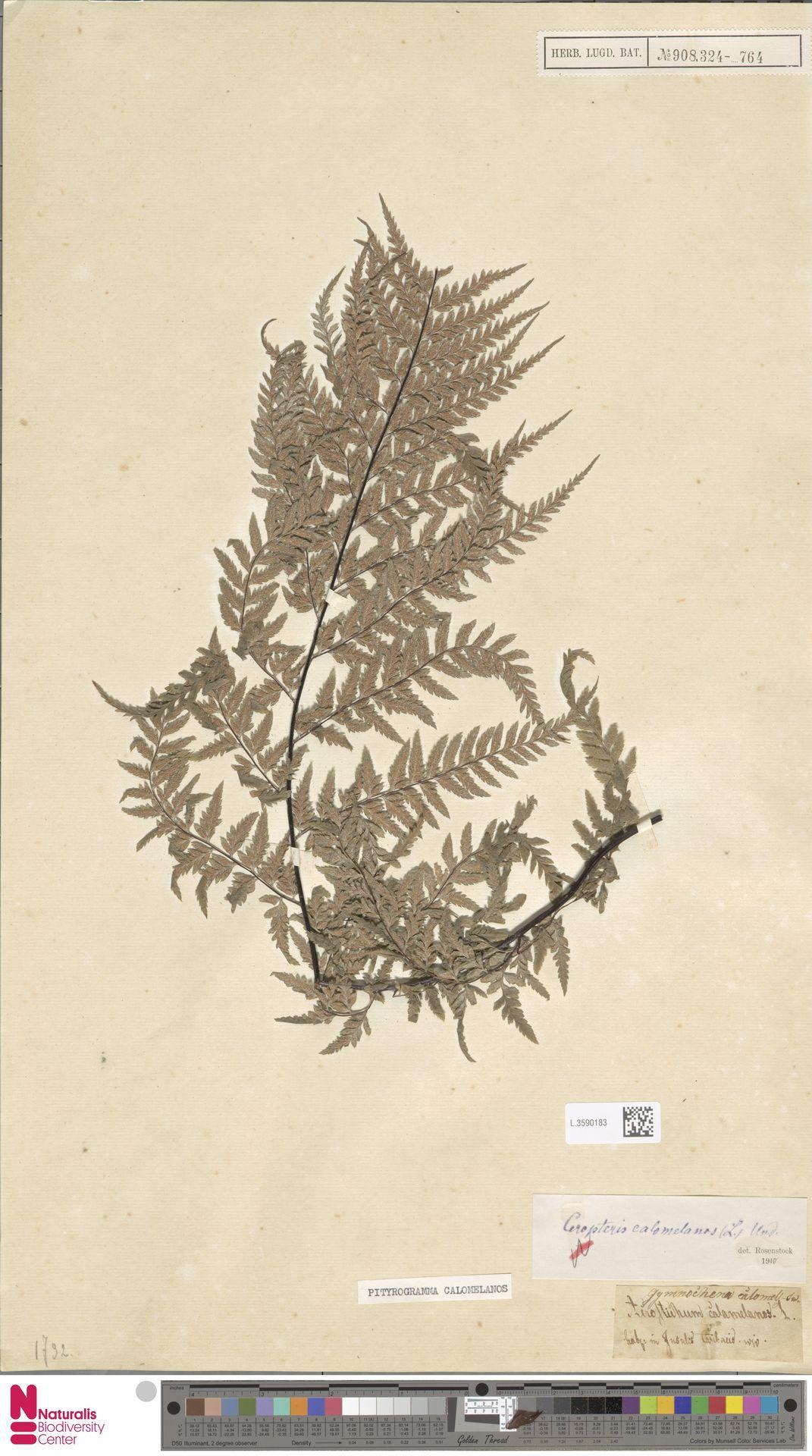 L.3590183   Pityrogramma calomelanos (L.) Link