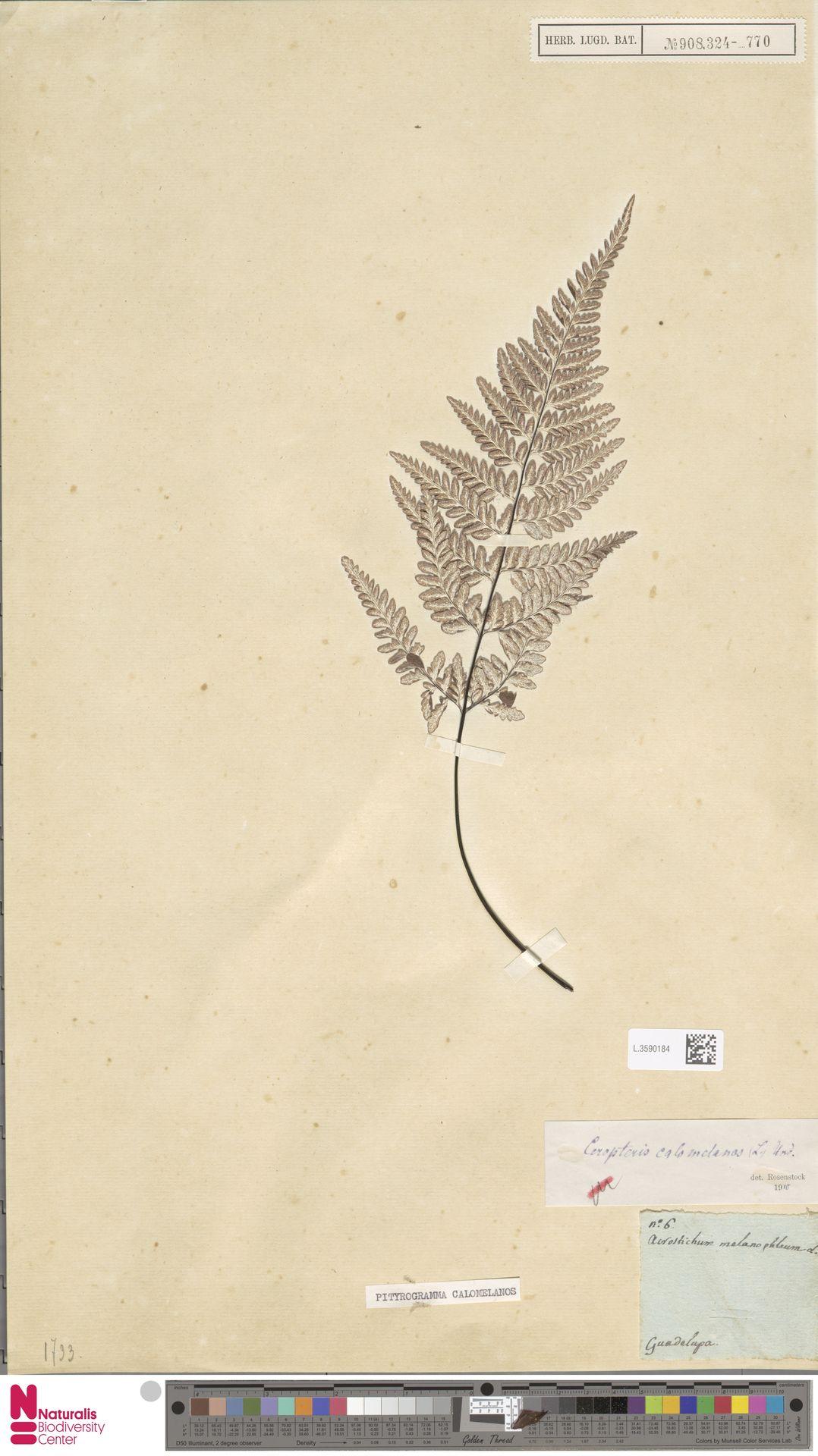 L.3590184 | Pityrogramma calomelanos (L.) Link