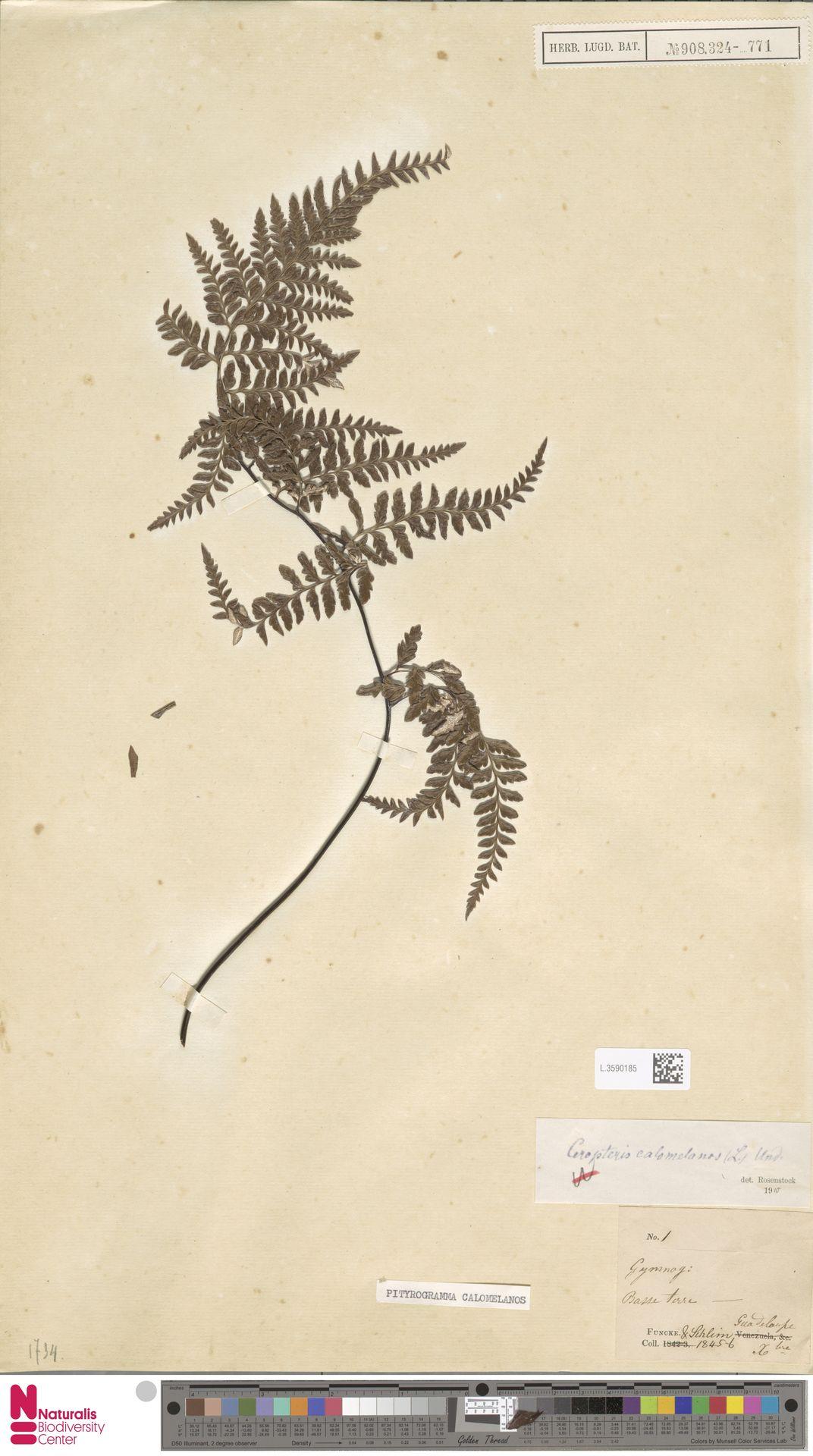 L.3590185 | Pityrogramma calomelanos (L.) Link